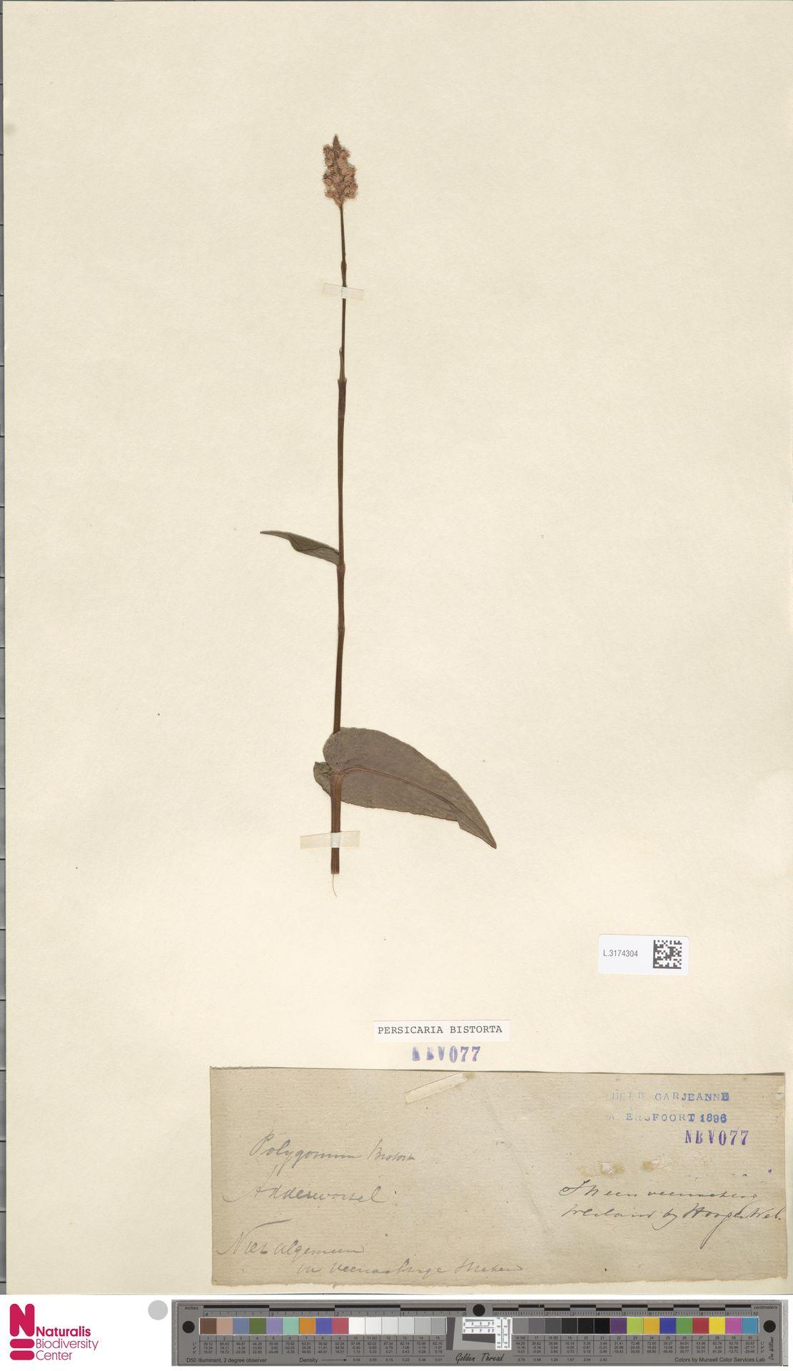 L.3174304 | Persicaria bistorta (L.) Samp.