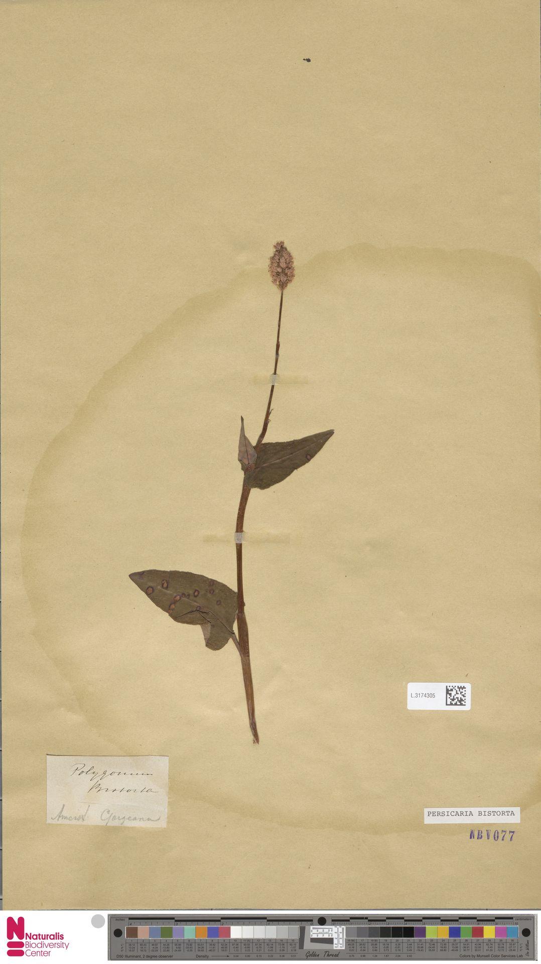 L.3174305 | Persicaria bistorta (L.) Samp.