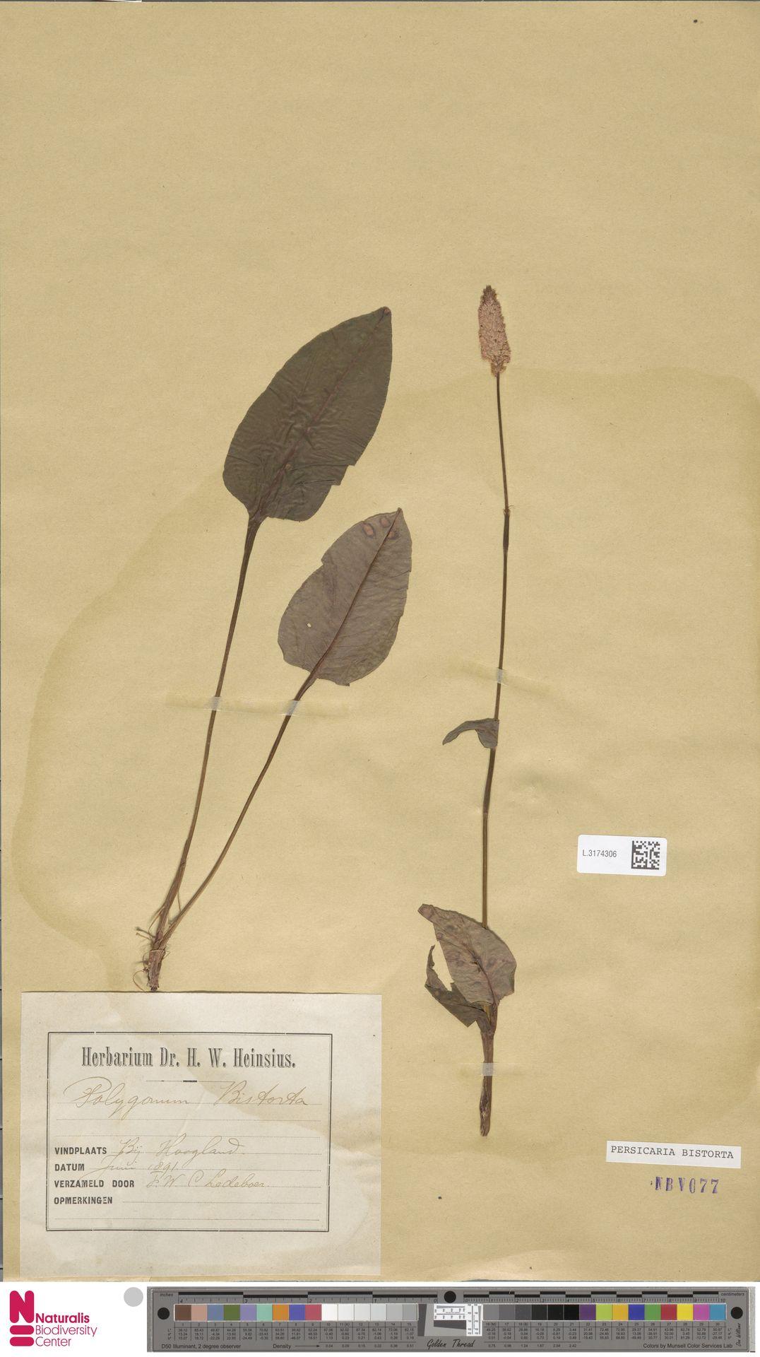 L.3174306 | Persicaria bistorta (L.) Samp.