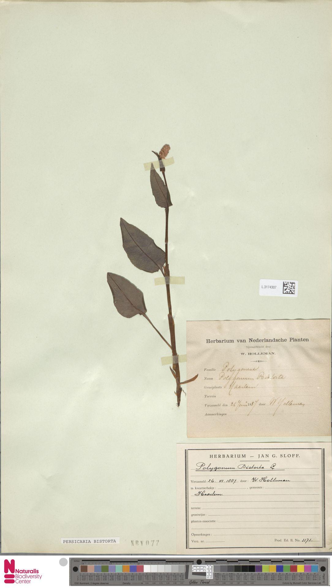 L.3174307 | Persicaria bistorta (L.) Samp.