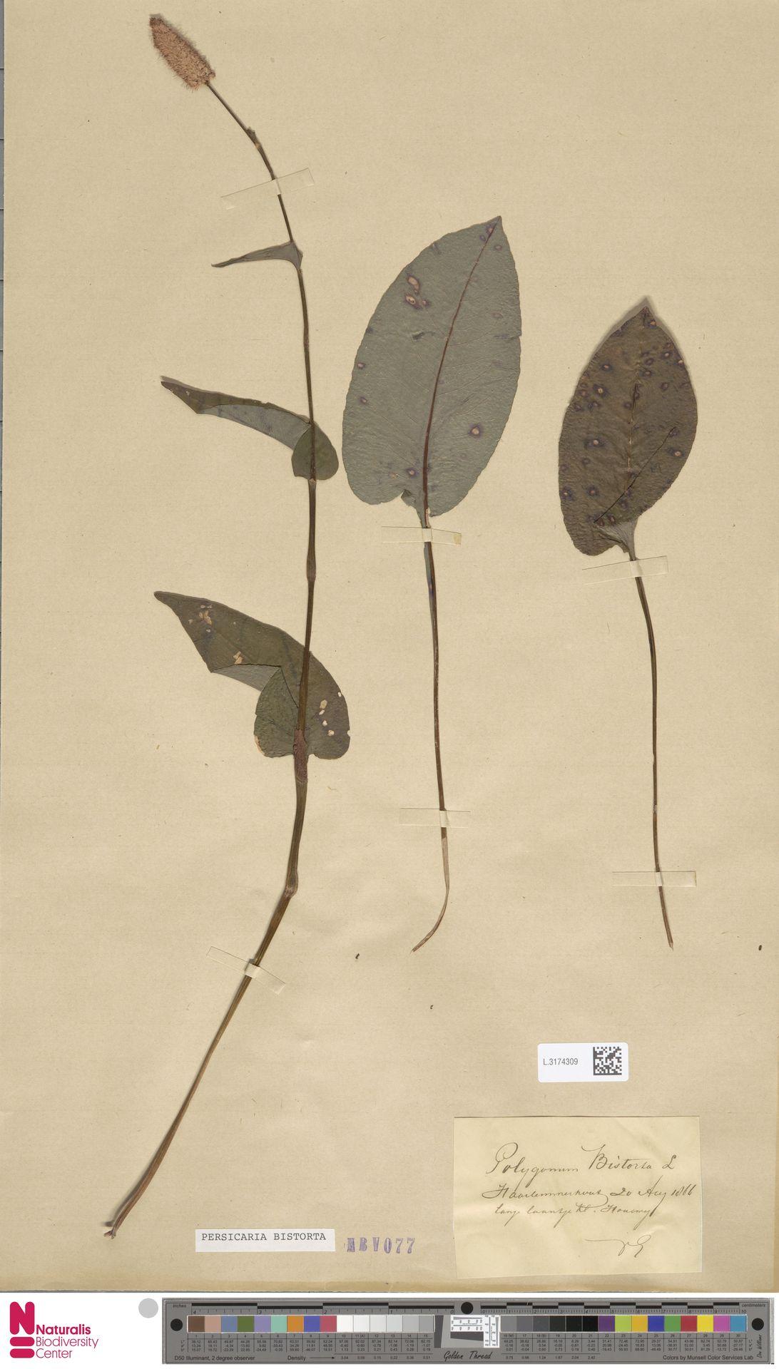 L.3174309 | Persicaria bistorta (L.) Samp.