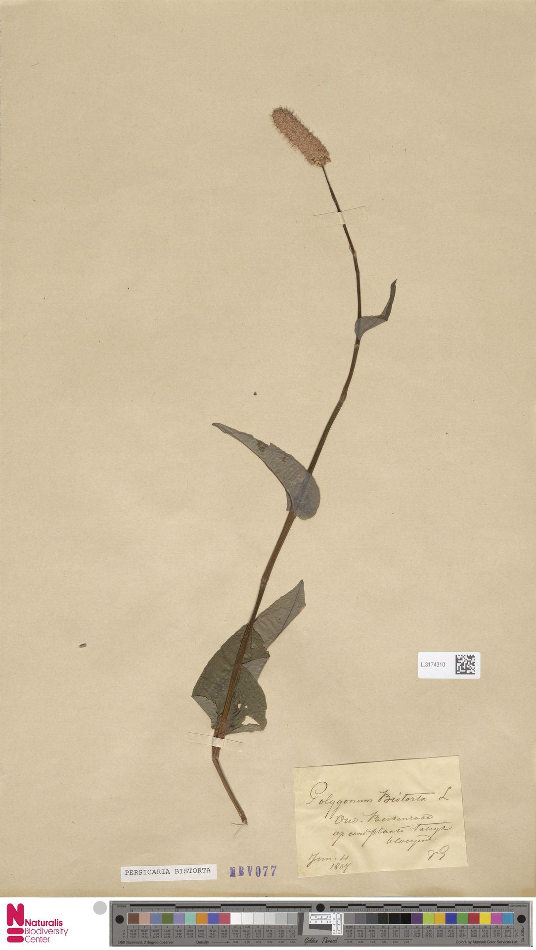 L.3174310 | Persicaria bistorta (L.) Samp.