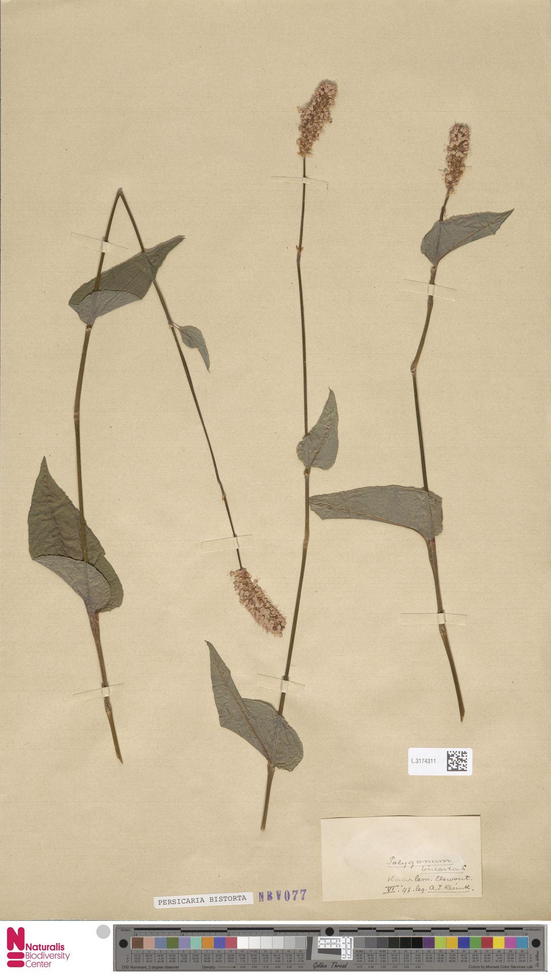 L.3174311 | Persicaria bistorta (L.) Samp.