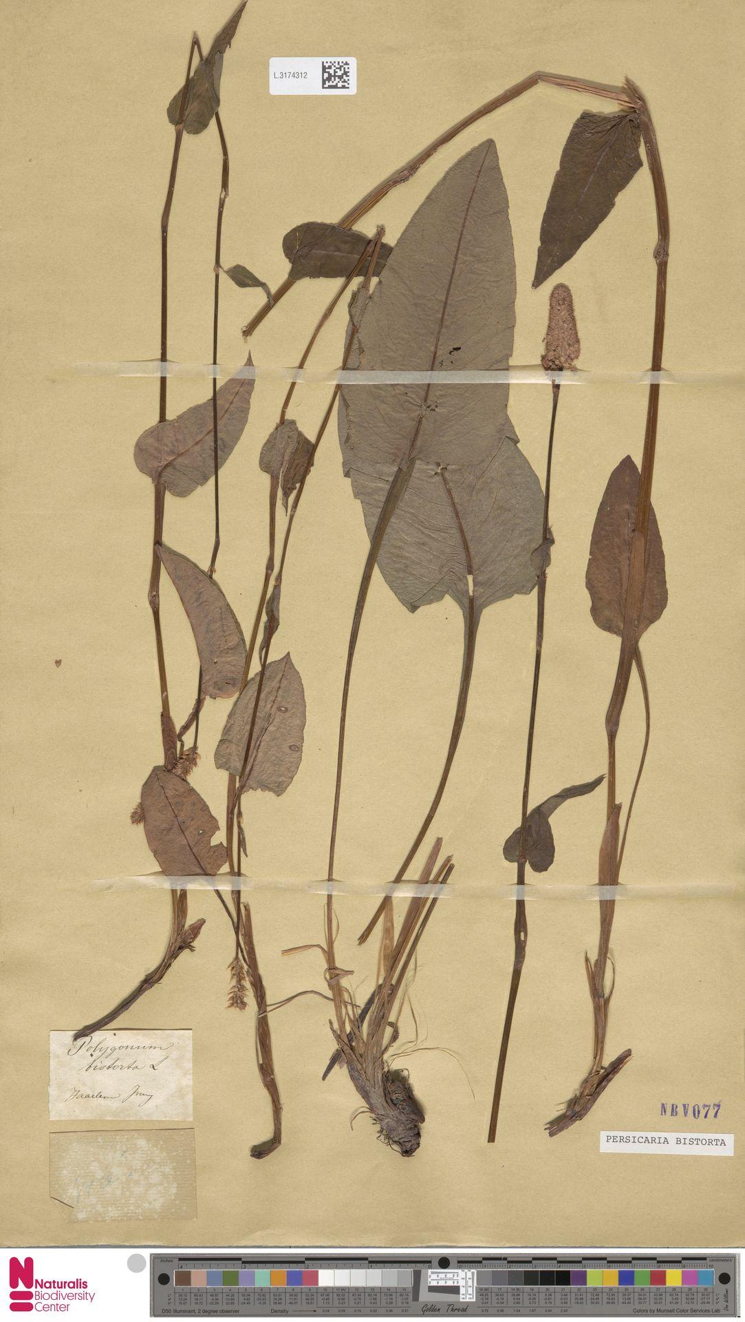 L.3174312 | Persicaria bistorta (L.) Samp.