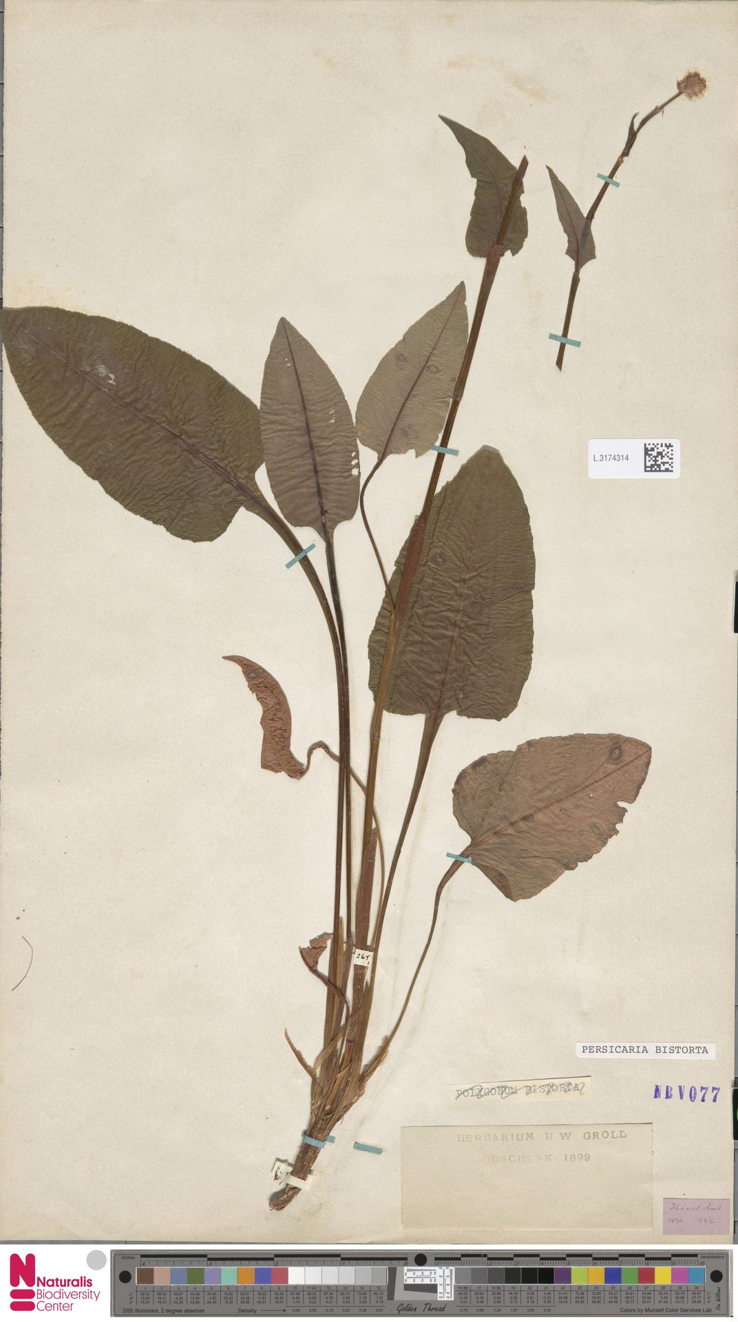 L.3174314 | Persicaria bistorta (L.) Samp.