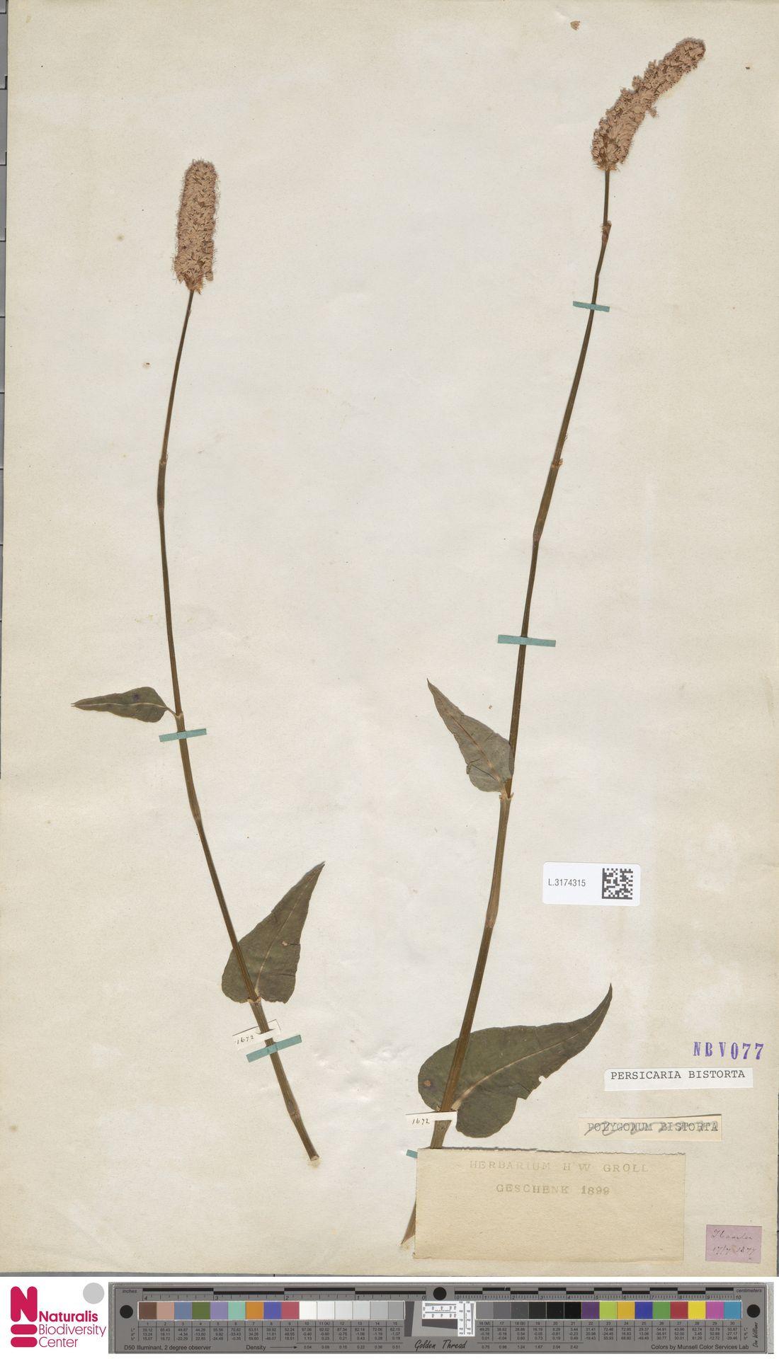 L.3174315 | Persicaria bistorta (L.) Samp.