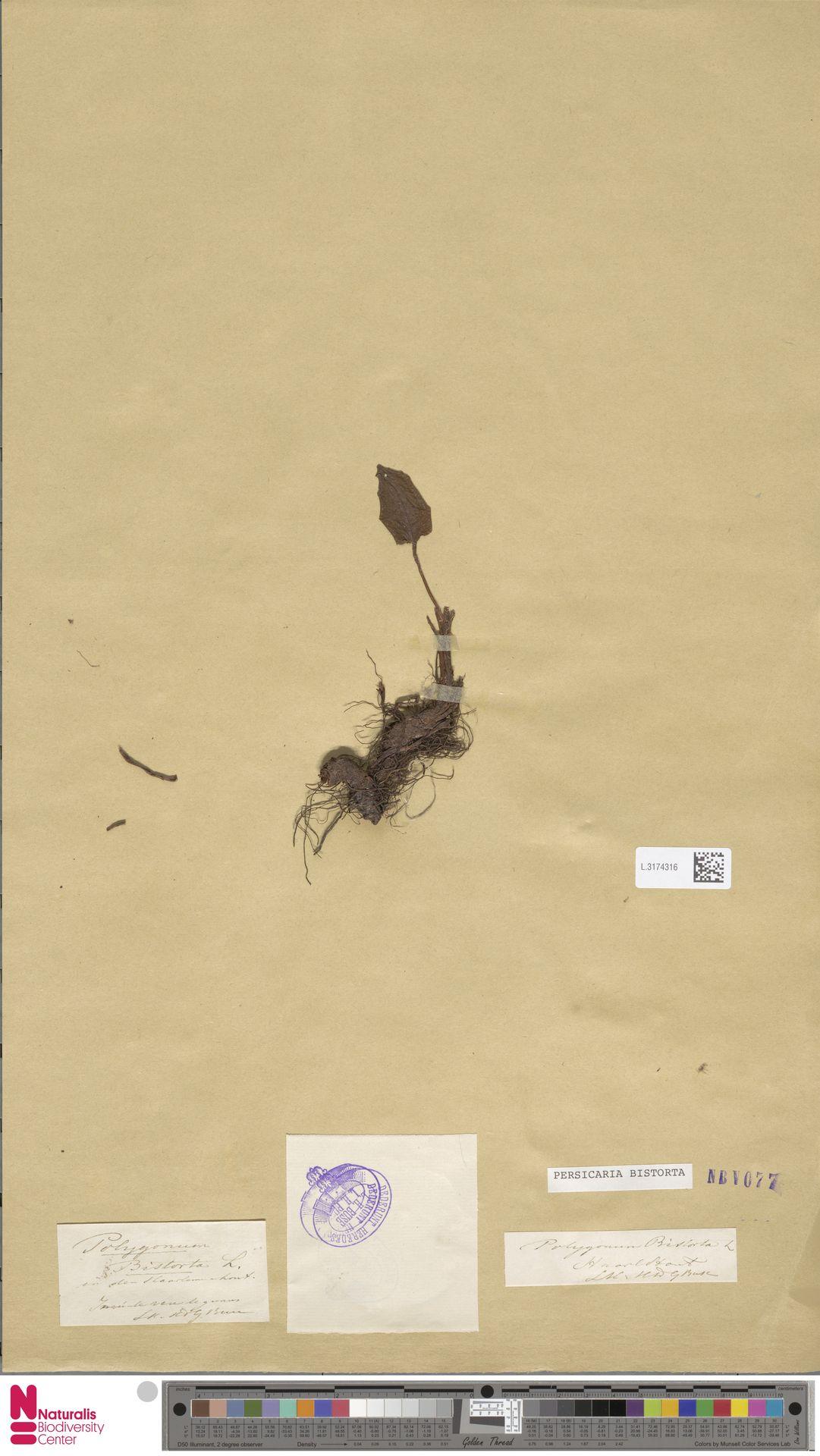 L.3174316 | Persicaria bistorta (L.) Samp.
