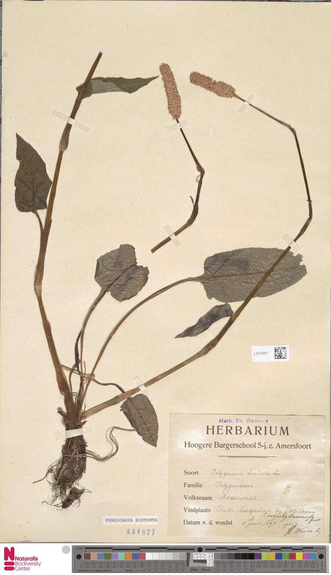 L.3174317 | Persicaria bistorta (L.) Samp.