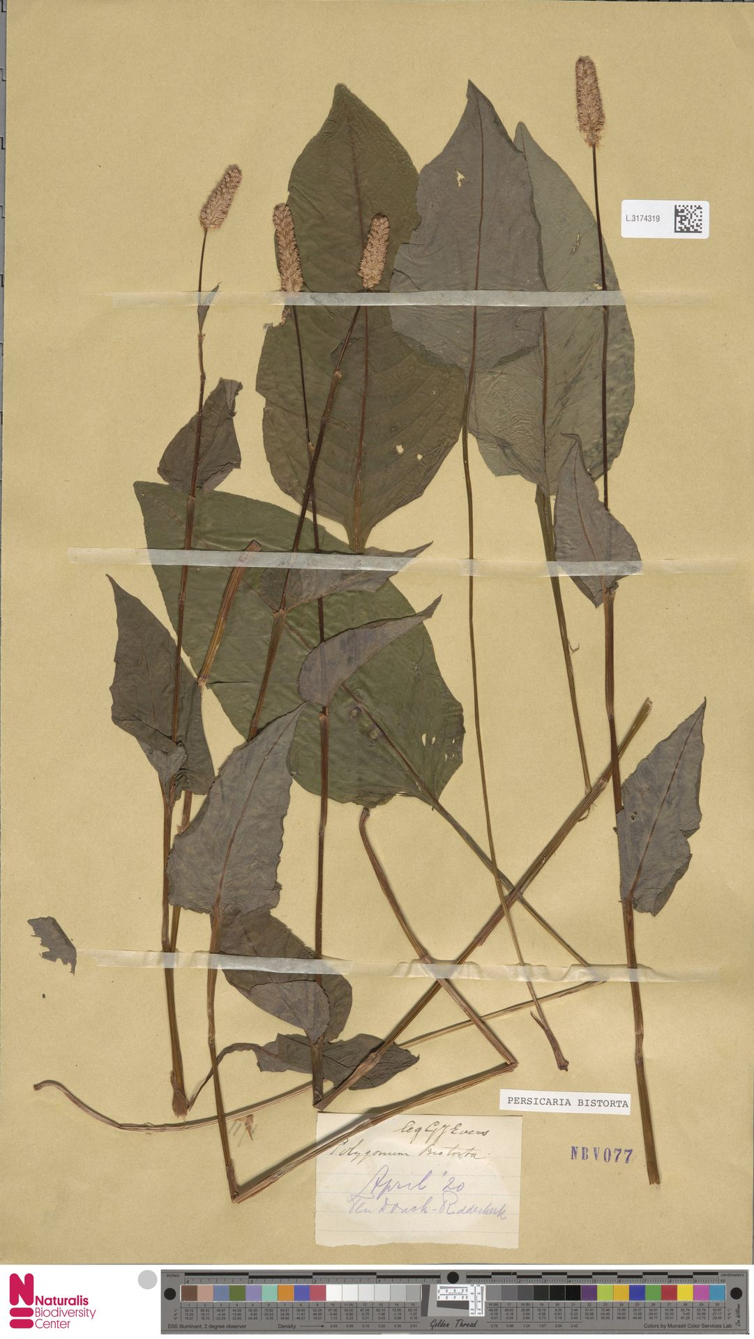 L.3174319   Persicaria bistorta (L.) Samp.