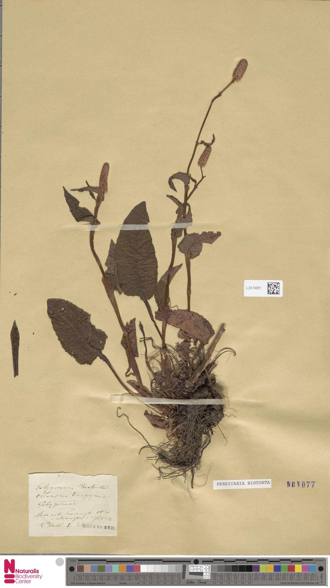 L.3174321 | Persicaria bistorta (L.) Samp.