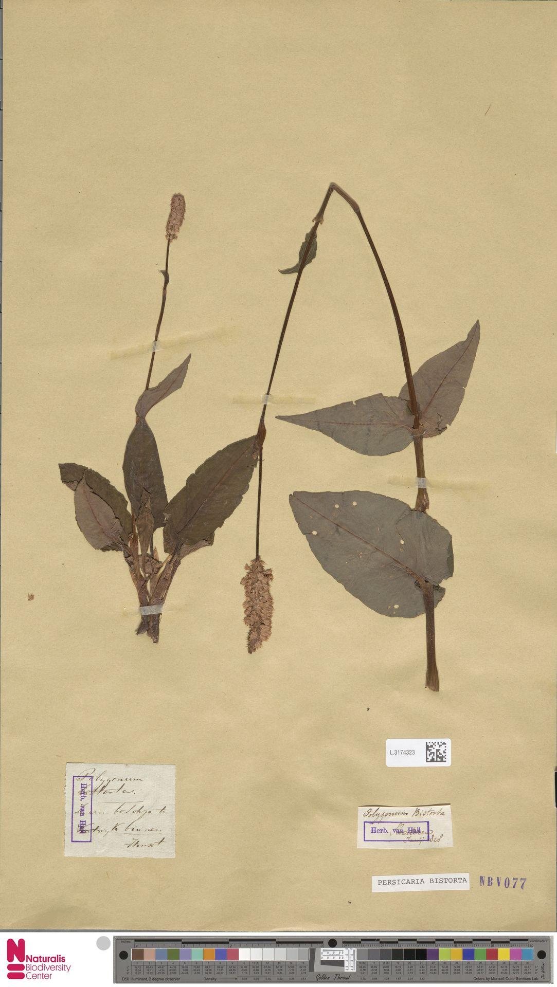 L.3174323 | Persicaria bistorta (L.) Samp.