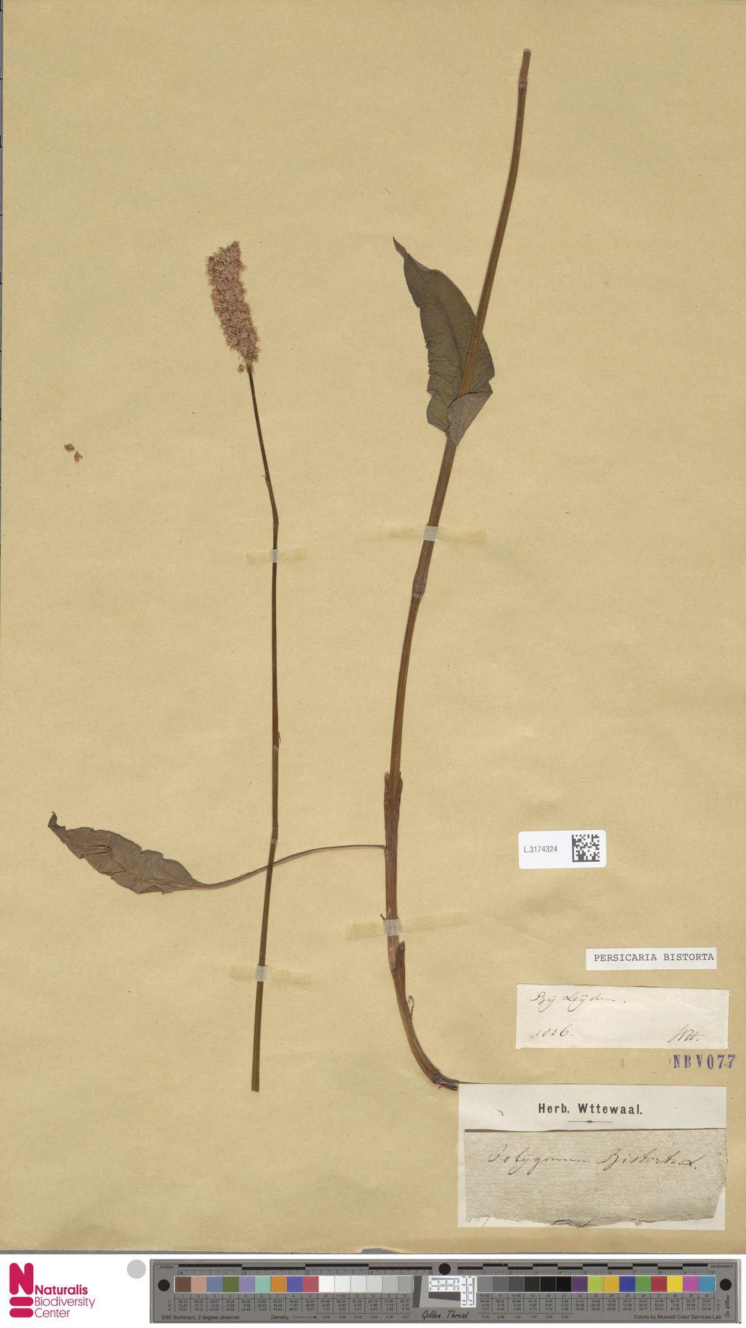 L.3174324 | Persicaria bistorta (L.) Samp.