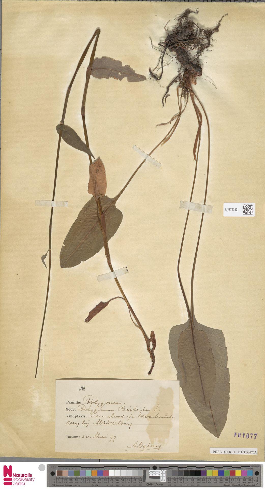 L.3174325 | Persicaria bistorta (L.) Samp.