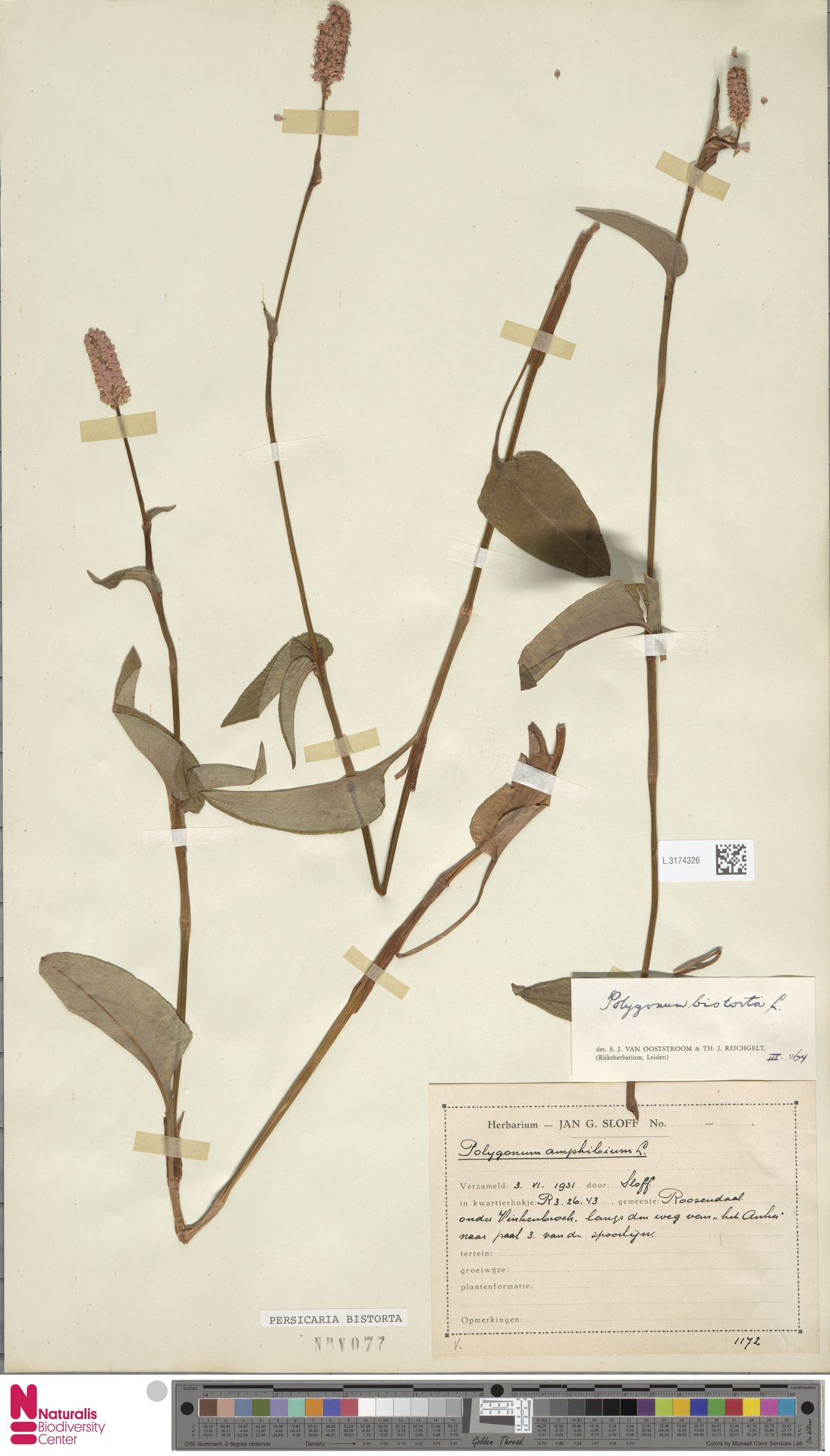 L.3174326 | Persicaria bistorta (L.) Samp.