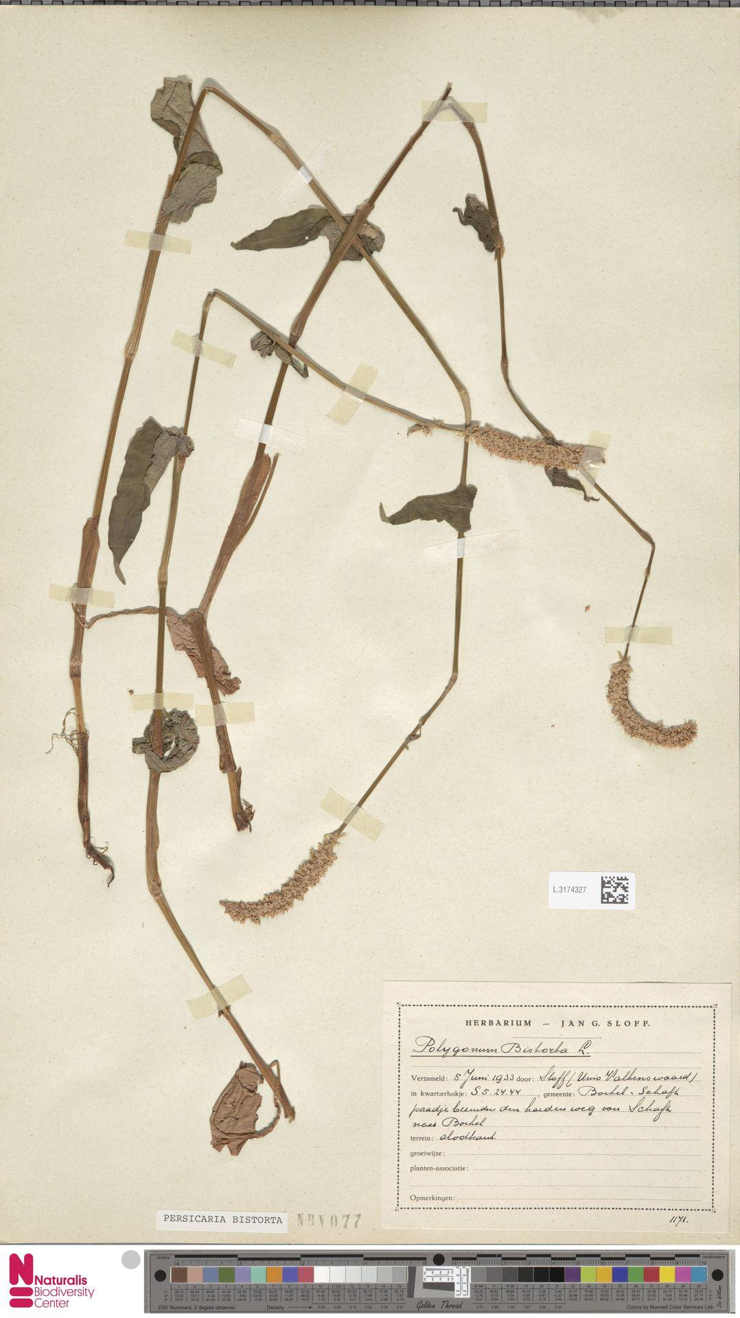 L.3174327 | Persicaria bistorta (L.) Samp.