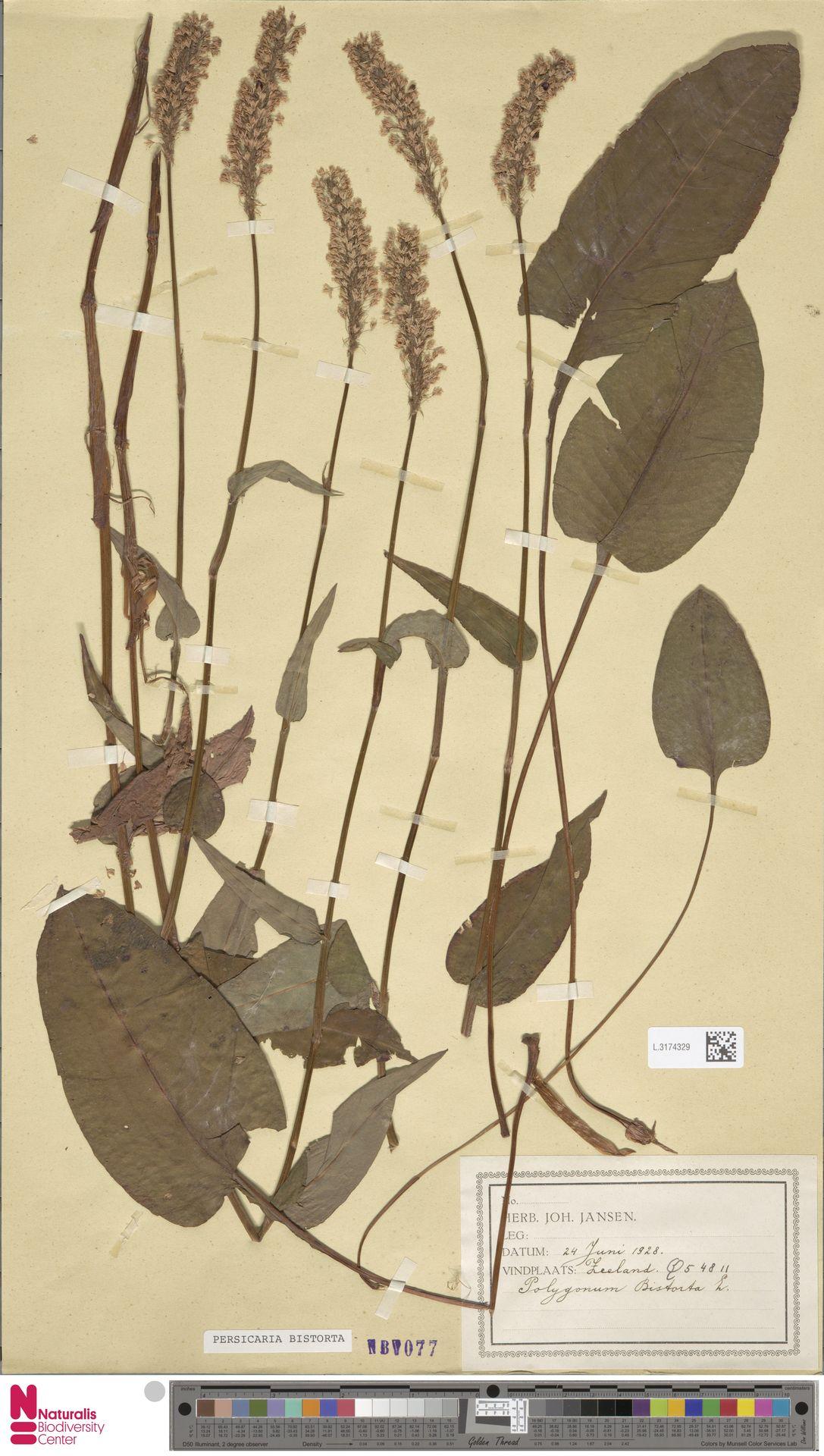 L.3174329 | Persicaria bistorta (L.) Samp.