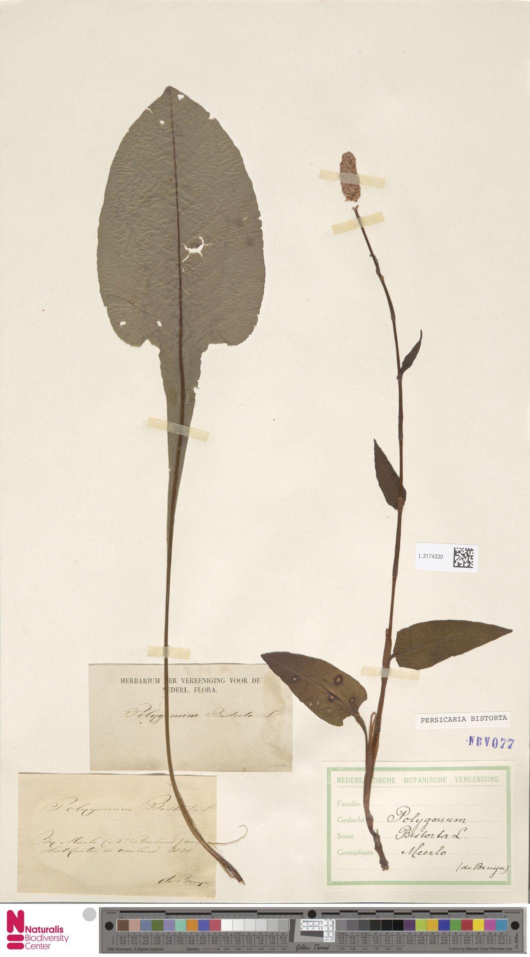 L.3174330 | Persicaria bistorta (L.) Samp.