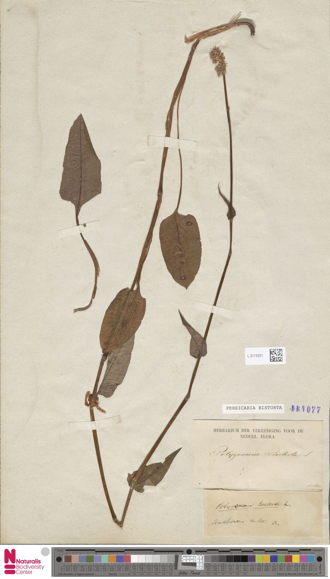 L.3174331 | Persicaria bistorta (L.) Samp.