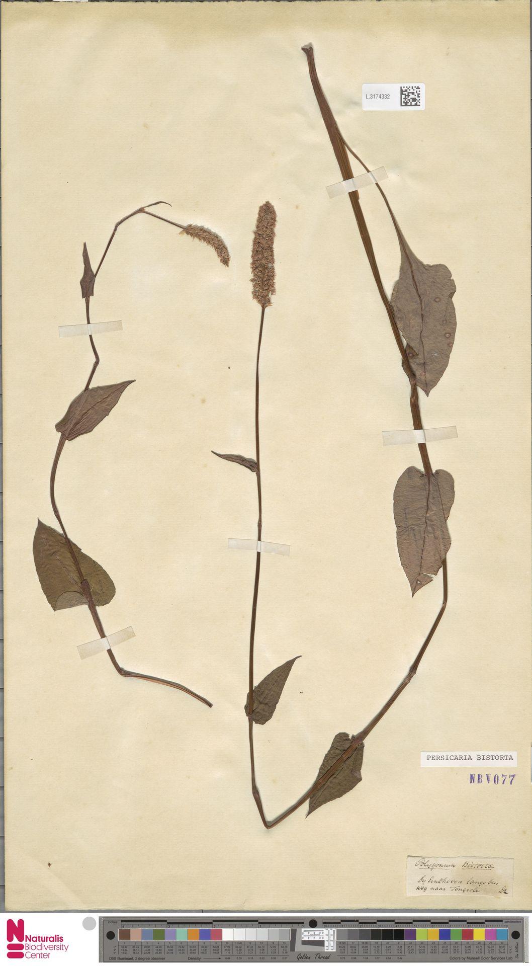 L.3174332 | Persicaria bistorta (L.) Samp.