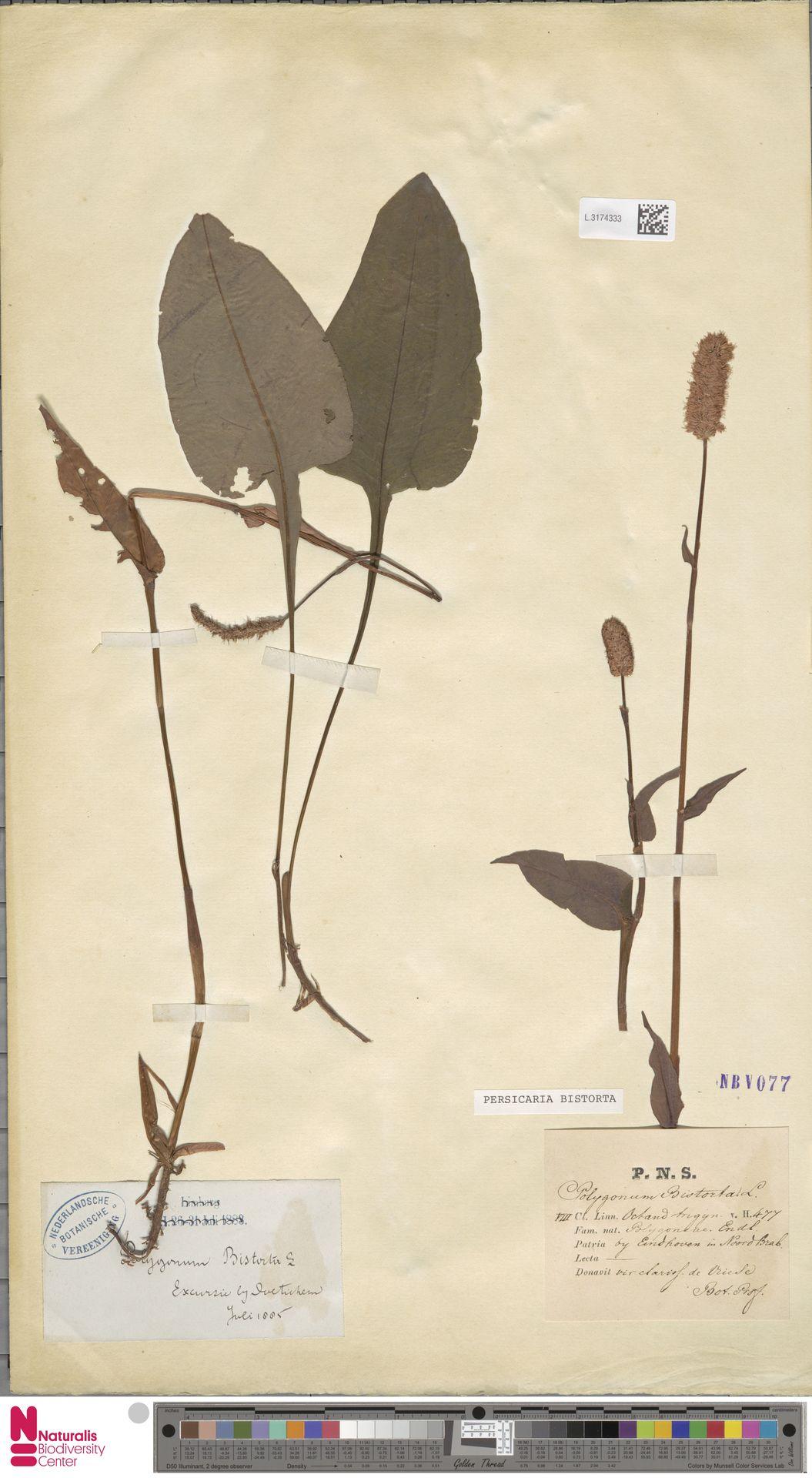 L.3174333 | Persicaria bistorta (L.) Samp.