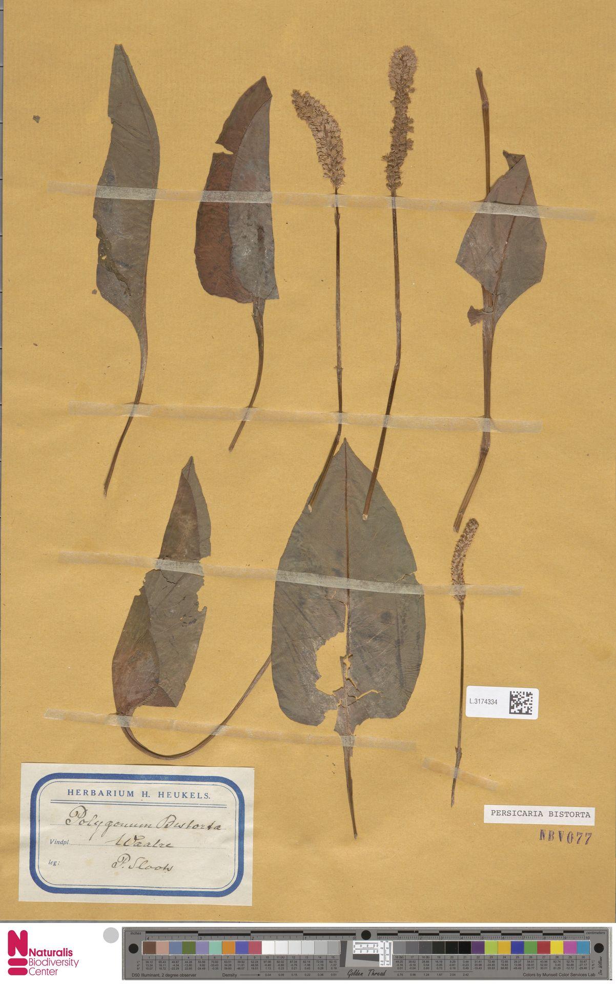 L.3174334 | Persicaria bistorta (L.) Samp.