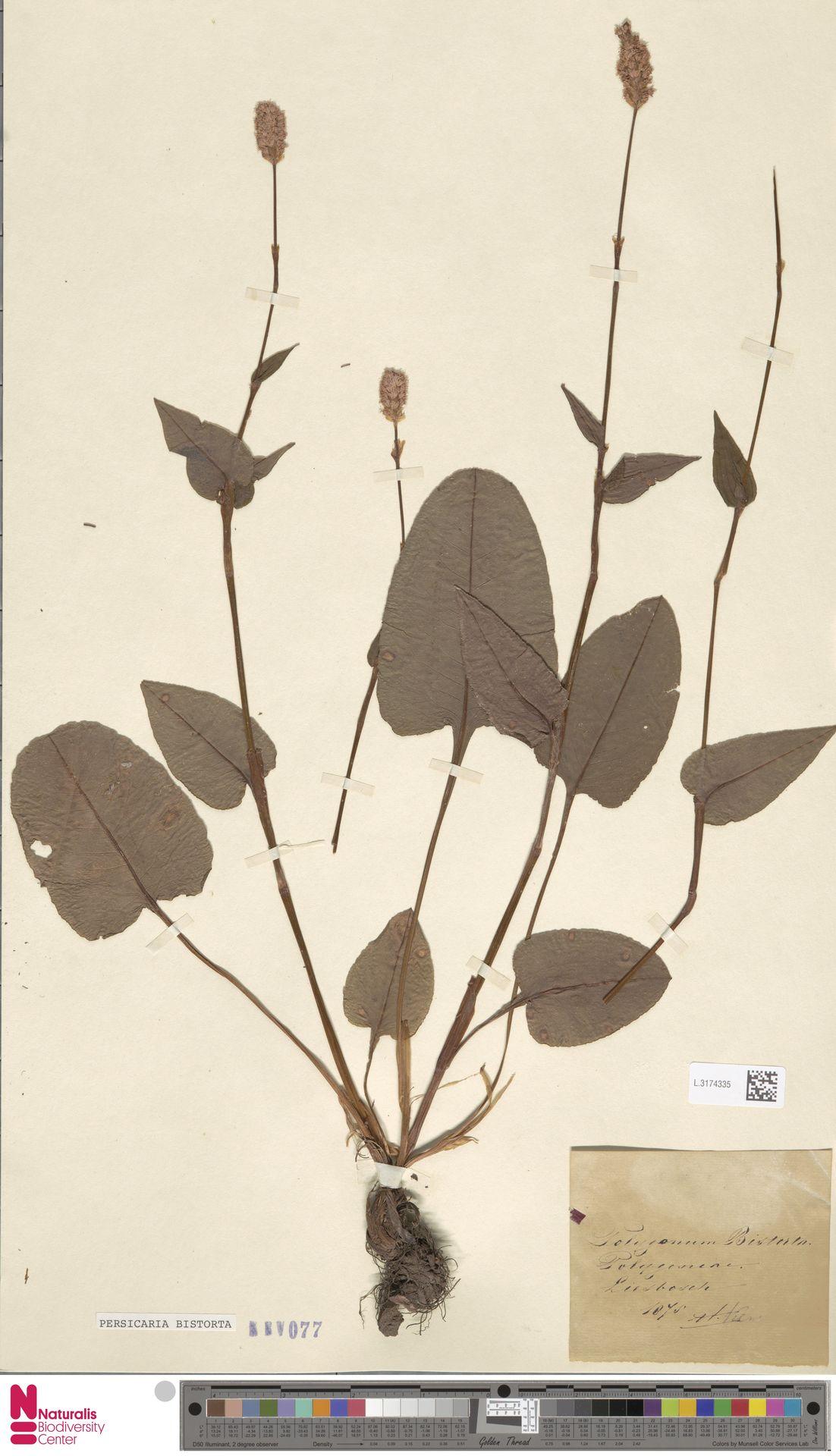 L.3174335 | Persicaria bistorta (L.) Samp.