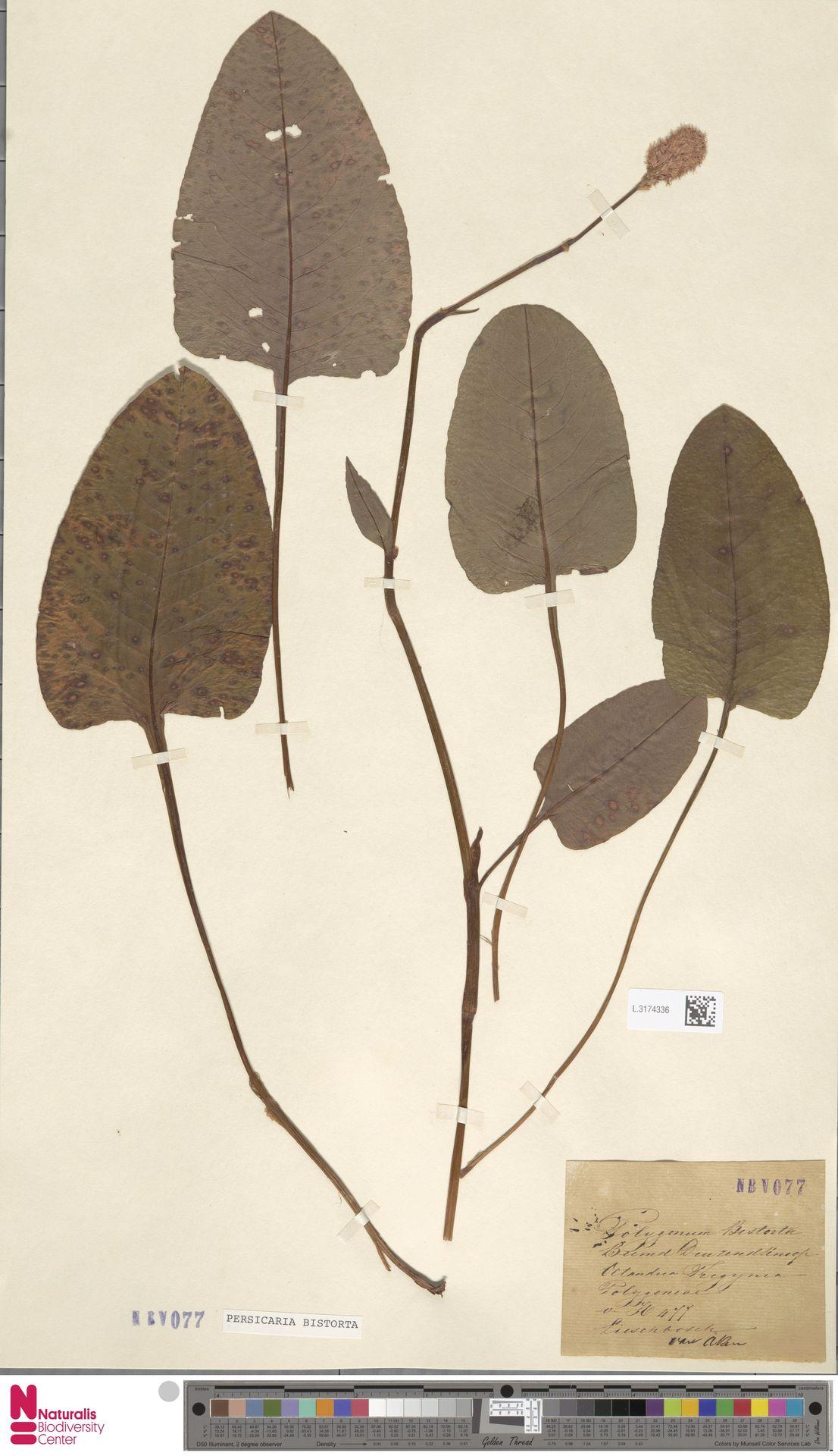L.3174336 | Persicaria bistorta (L.) Samp.
