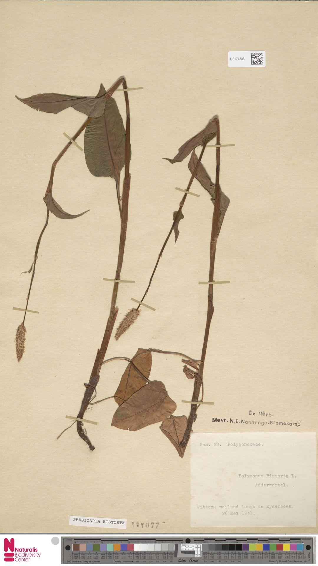 L.3174338 | Persicaria bistorta (L.) Samp.