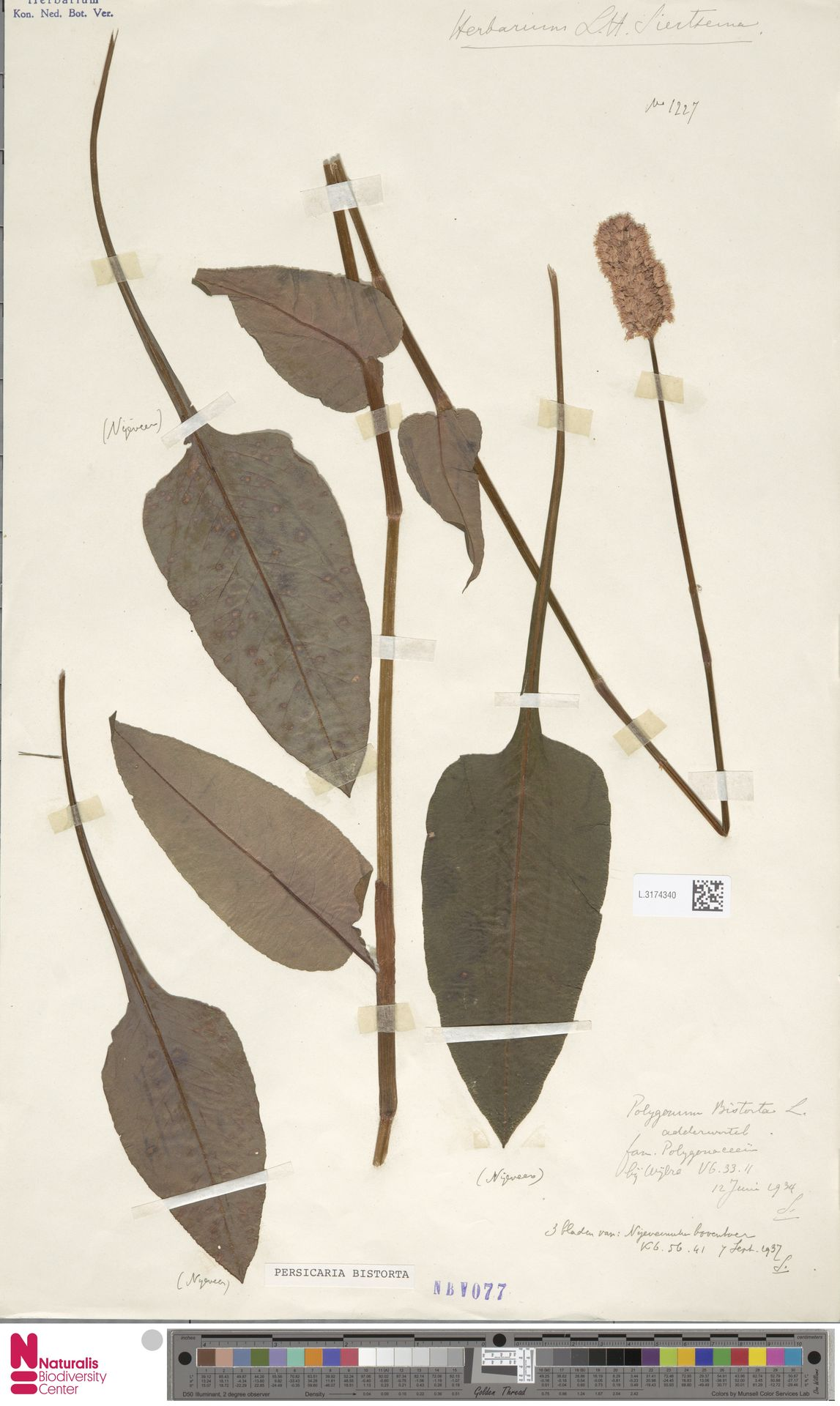 L.3174340 | Persicaria bistorta (L.) Samp.