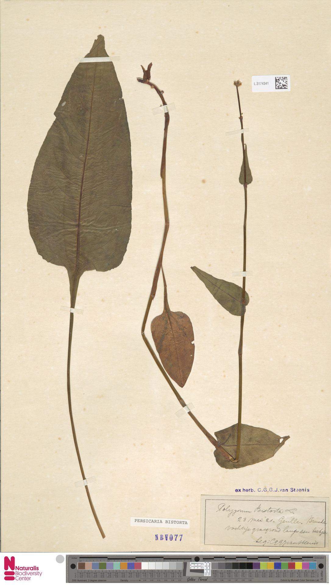 L.3174341 | Persicaria bistorta (L.) Samp.