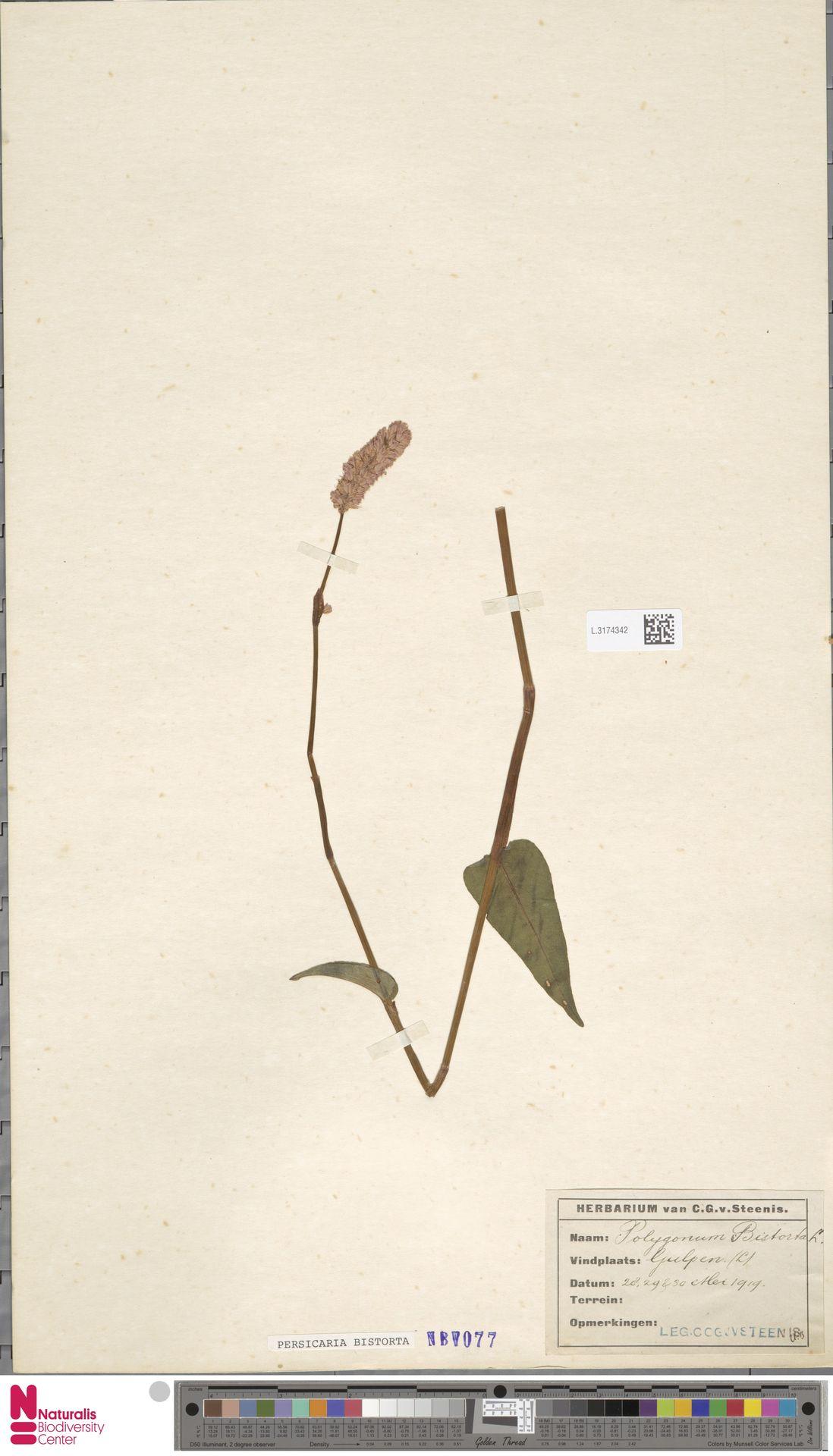 L.3174342 | Persicaria bistorta (L.) Samp.