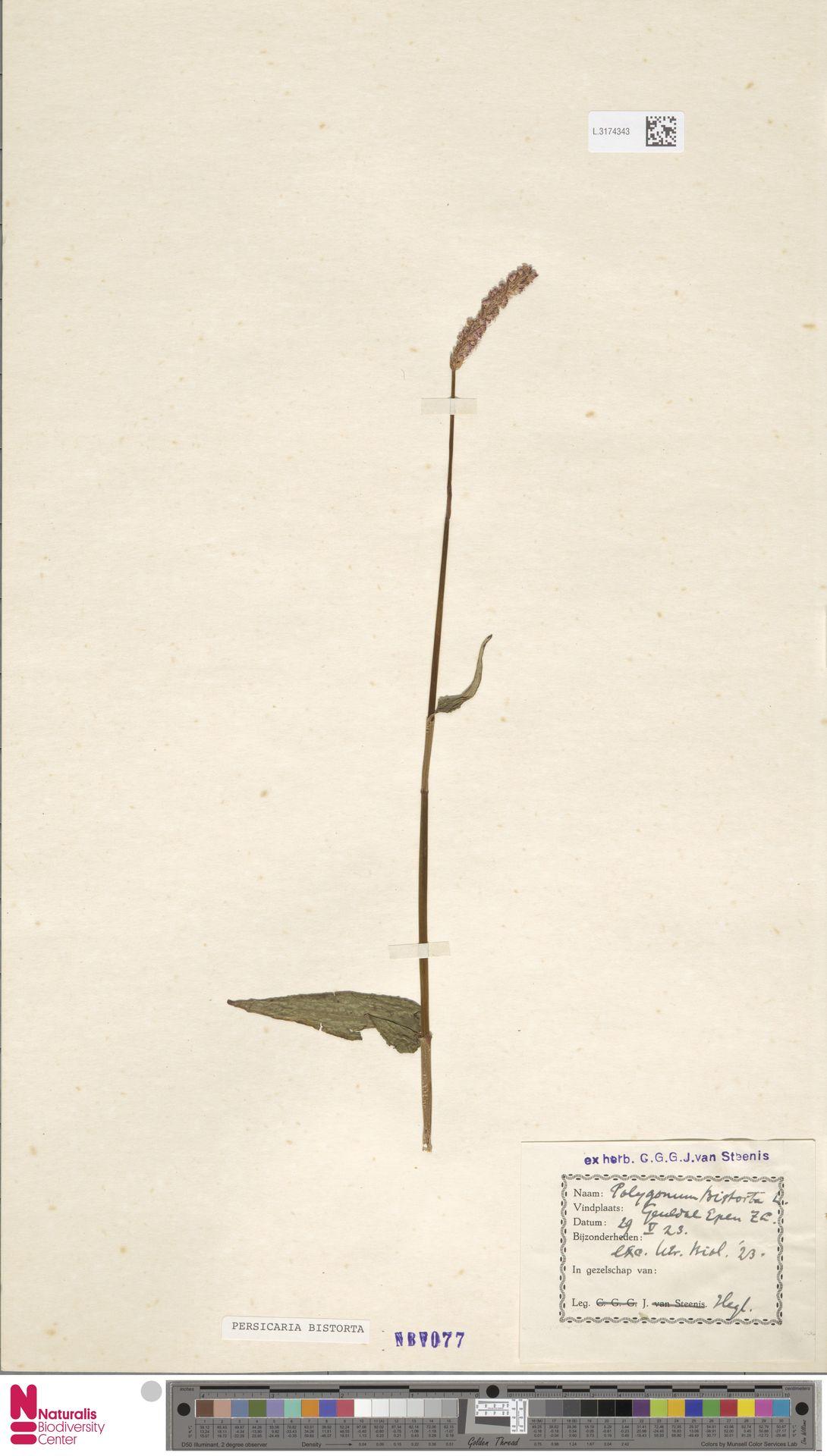 L.3174343 | Persicaria bistorta (L.) Samp.
