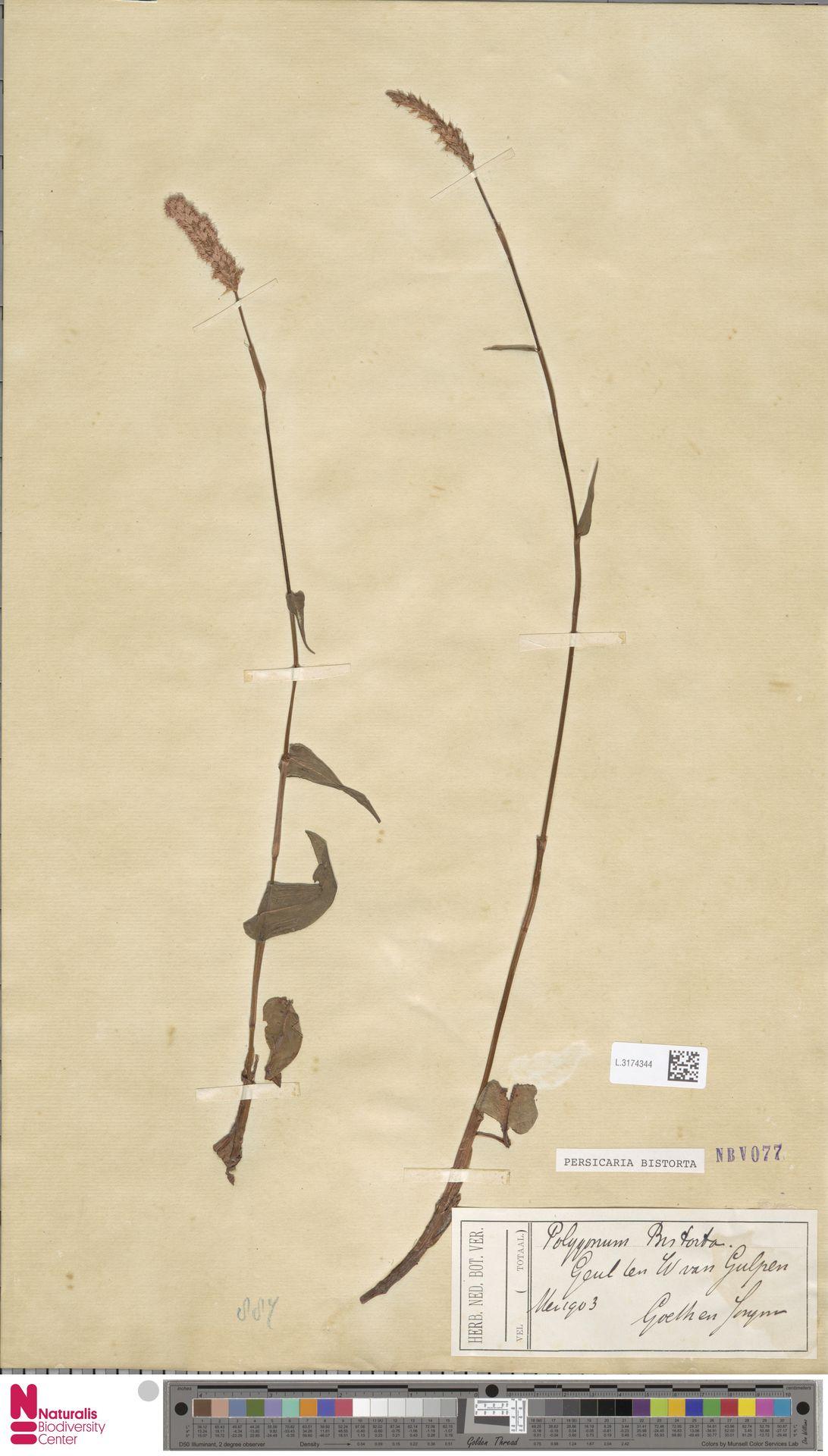 L.3174344 | Persicaria bistorta (L.) Samp.