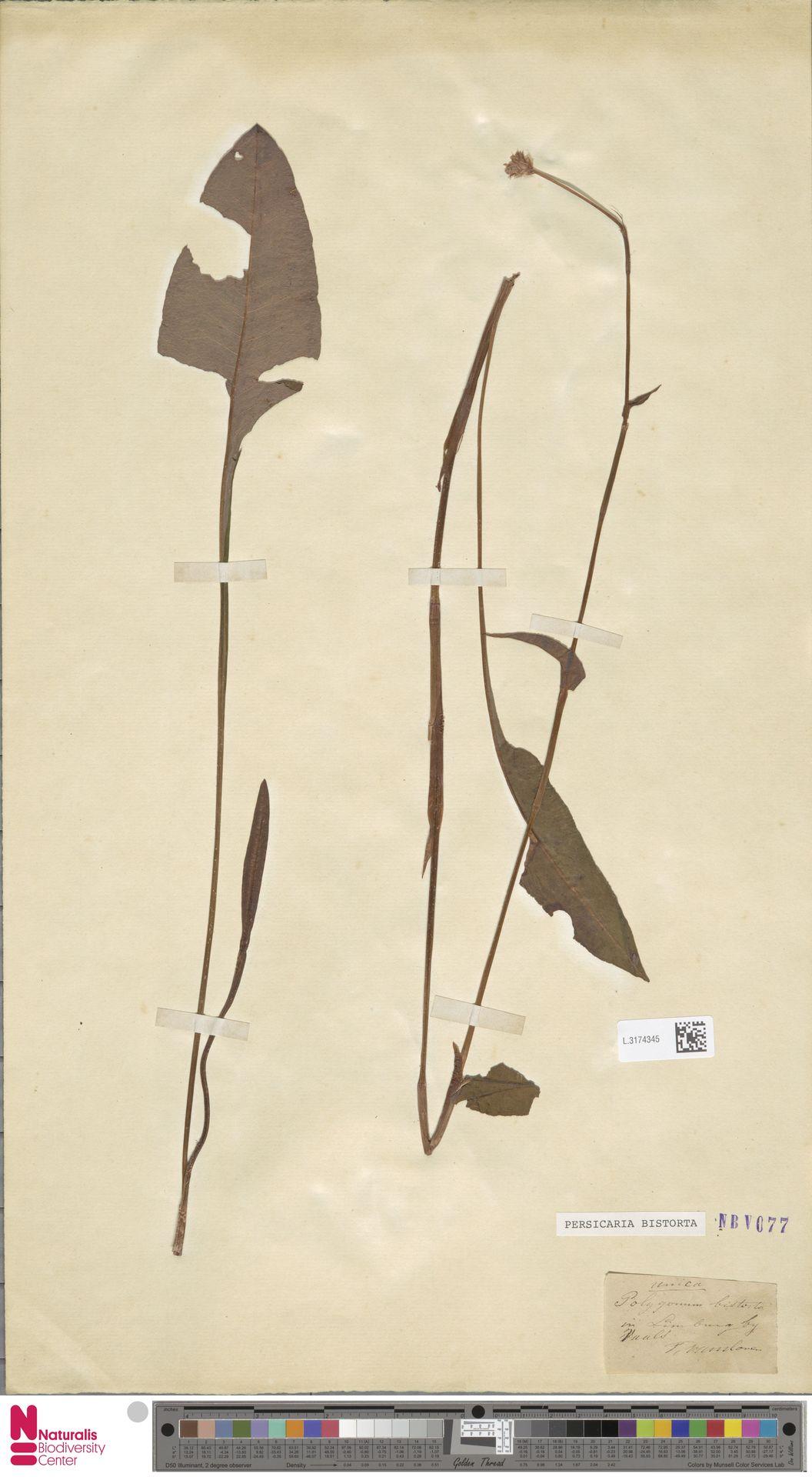 L.3174345 | Persicaria bistorta (L.) Samp.