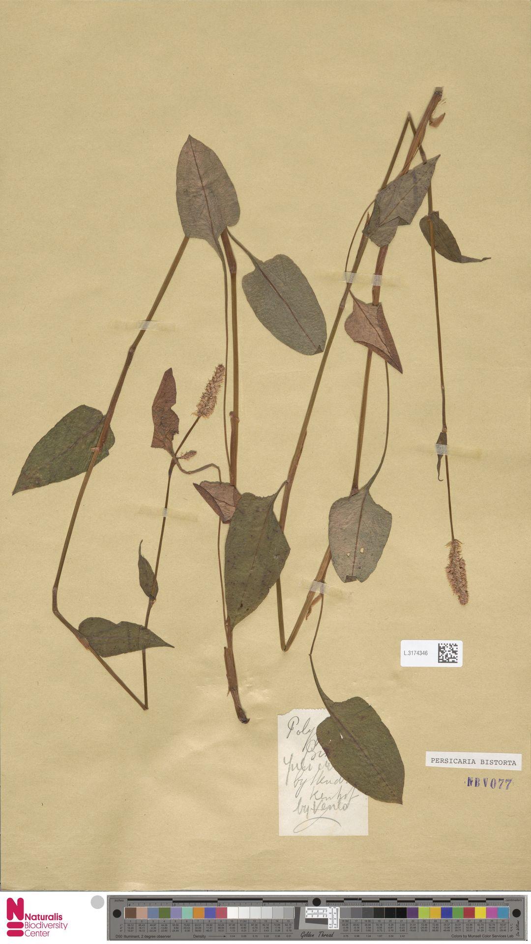 L.3174346 | Persicaria bistorta (L.) Samp.