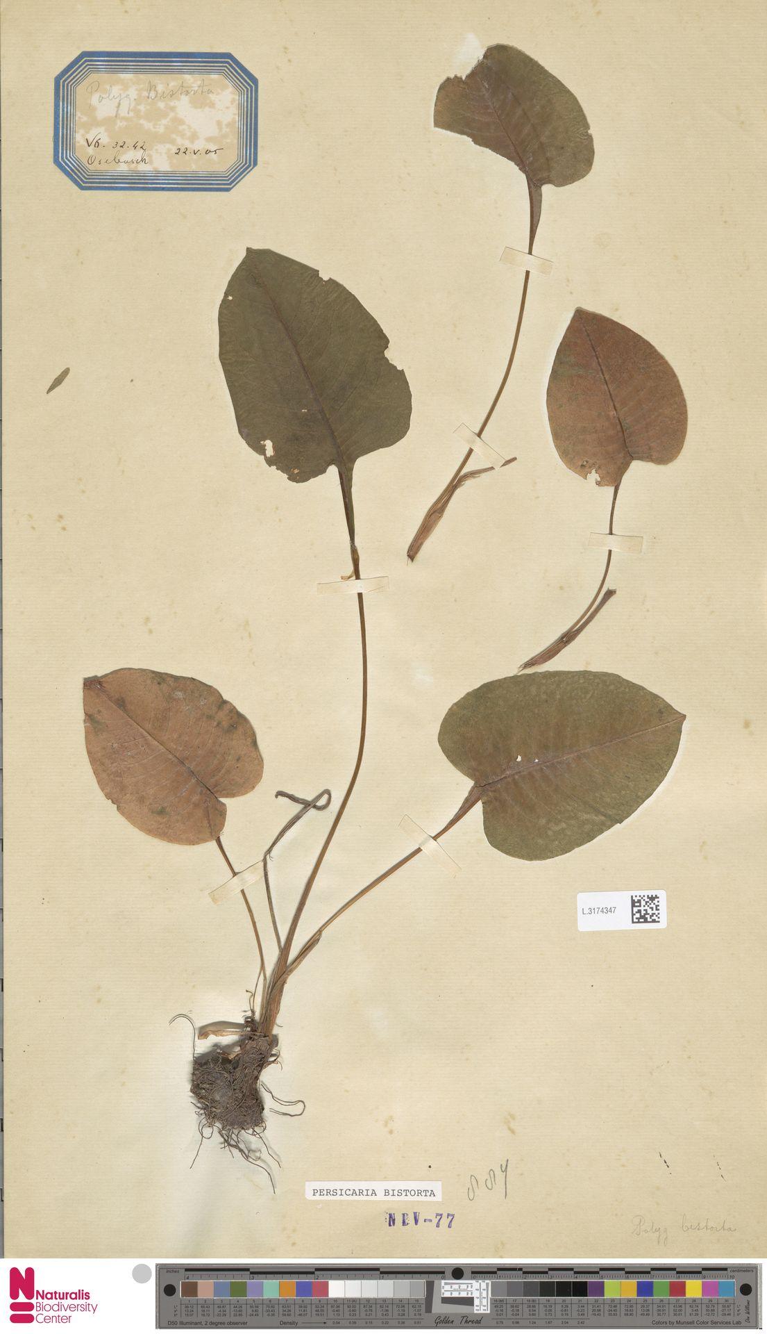 L.3174347 | Persicaria bistorta (L.) Samp.
