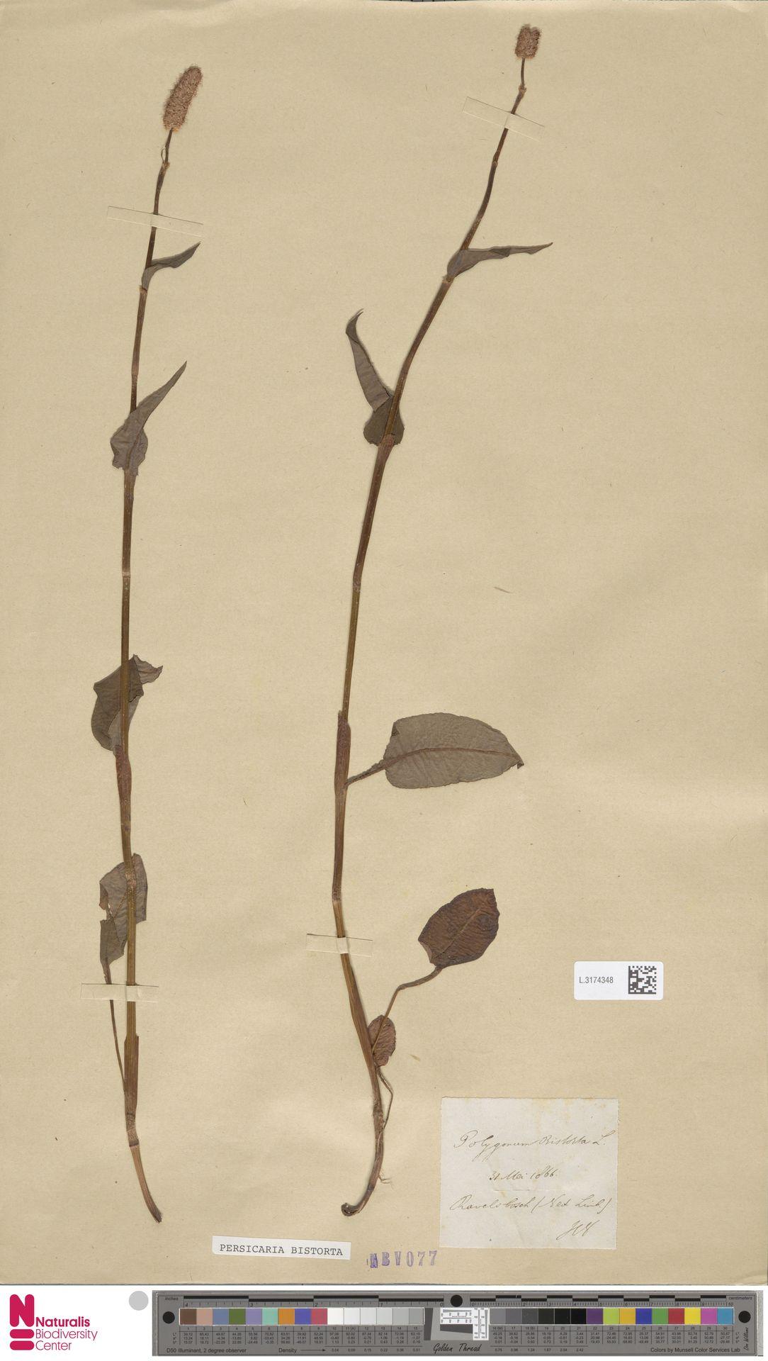 L.3174348 | Persicaria bistorta (L.) Samp.