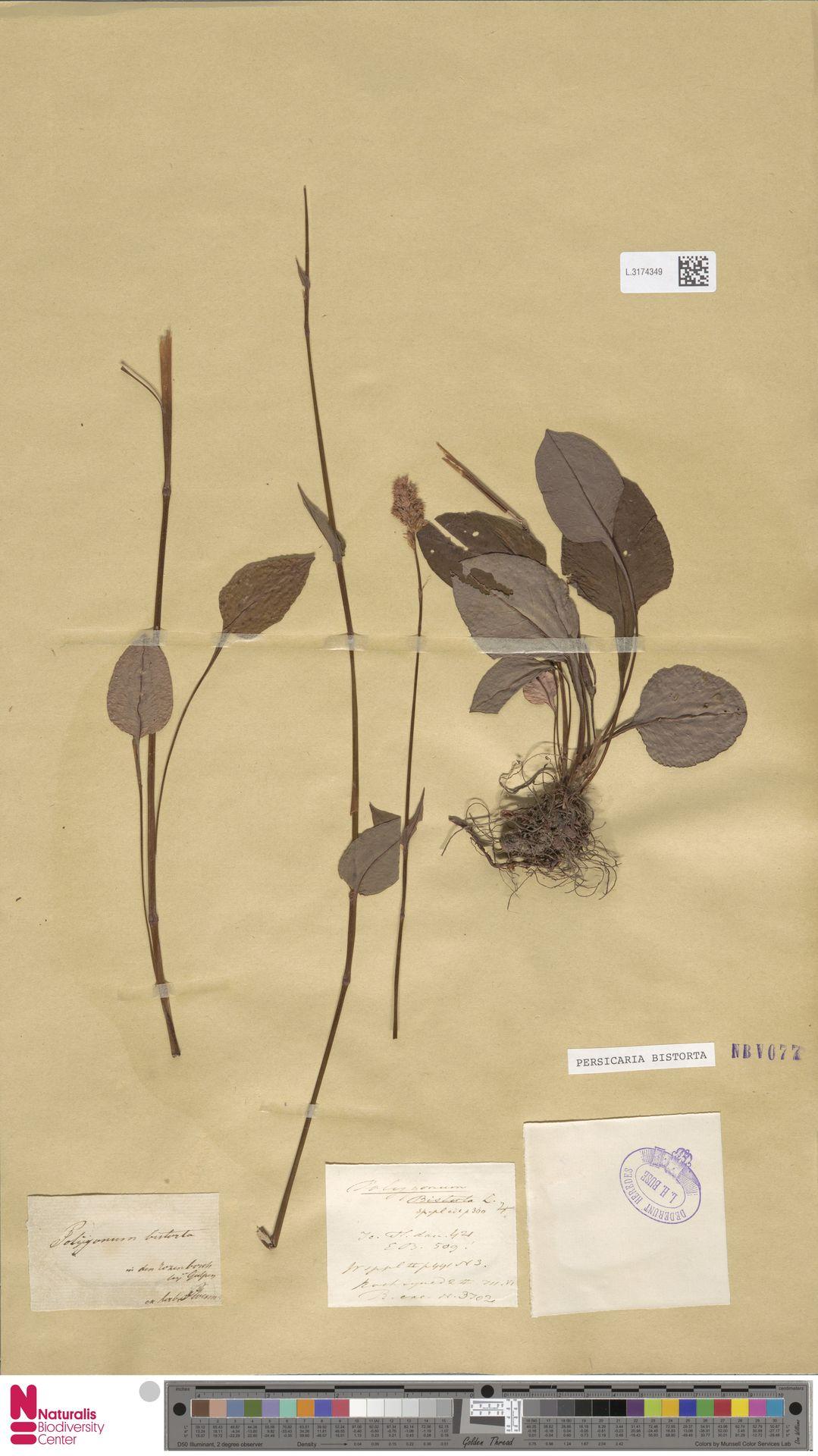 L.3174349   Persicaria bistorta (L.) Samp.