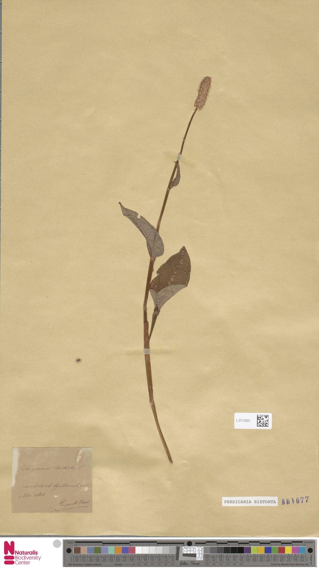 L.3174351 | Persicaria bistorta (L.) Samp.
