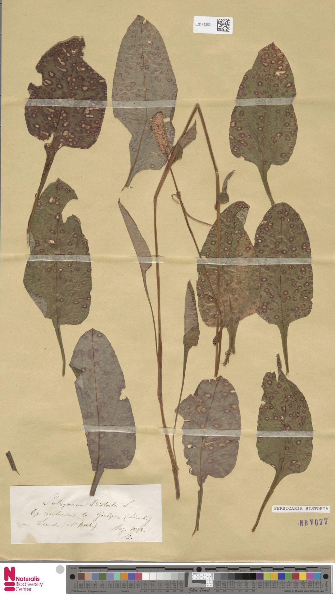 L.3174352 | Persicaria bistorta (L.) Samp.