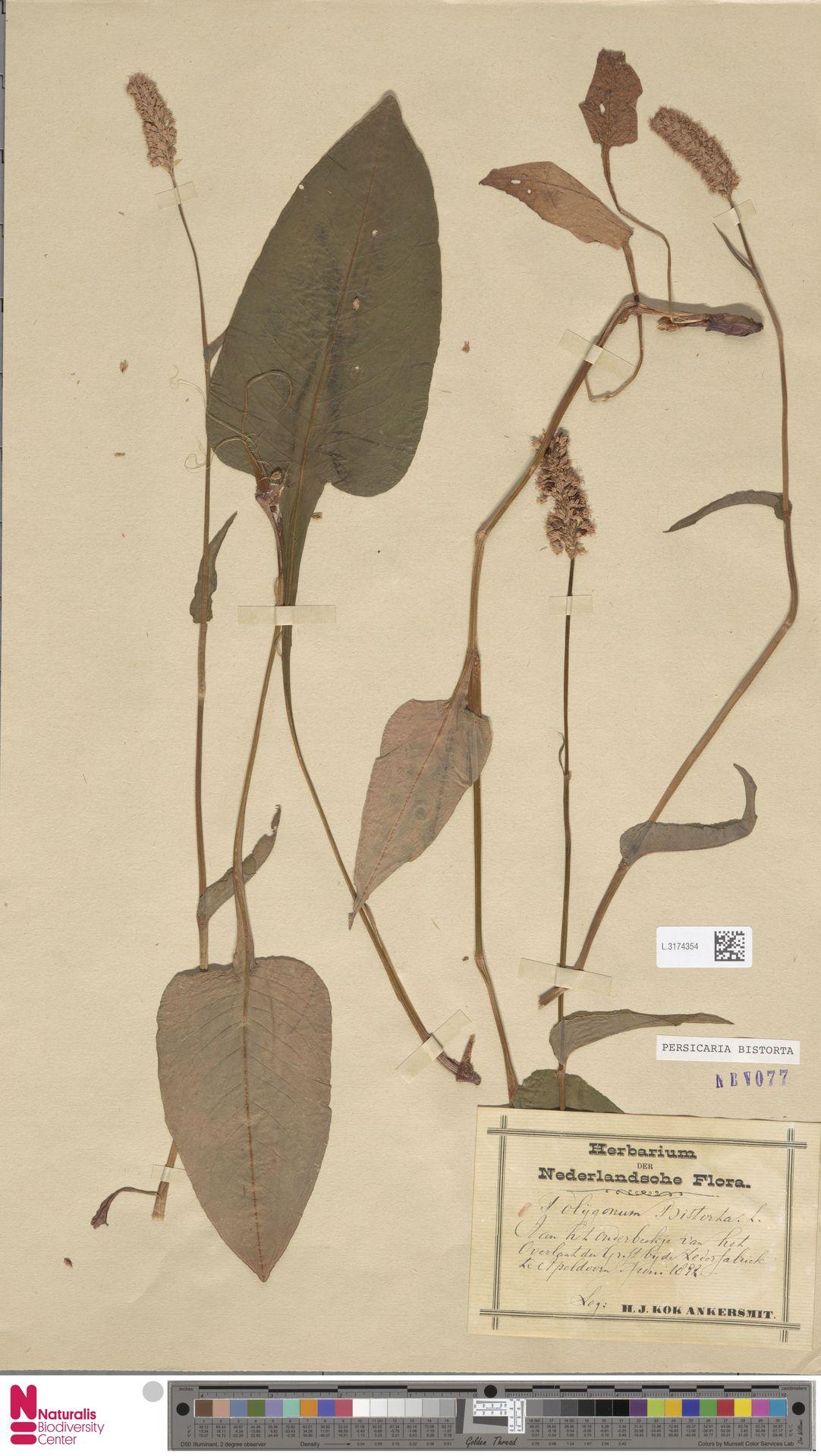 L.3174354 | Persicaria bistorta (L.) Samp.