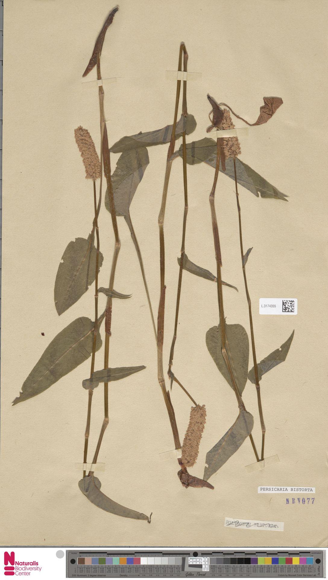 L.3174355 | Persicaria bistorta (L.) Samp.