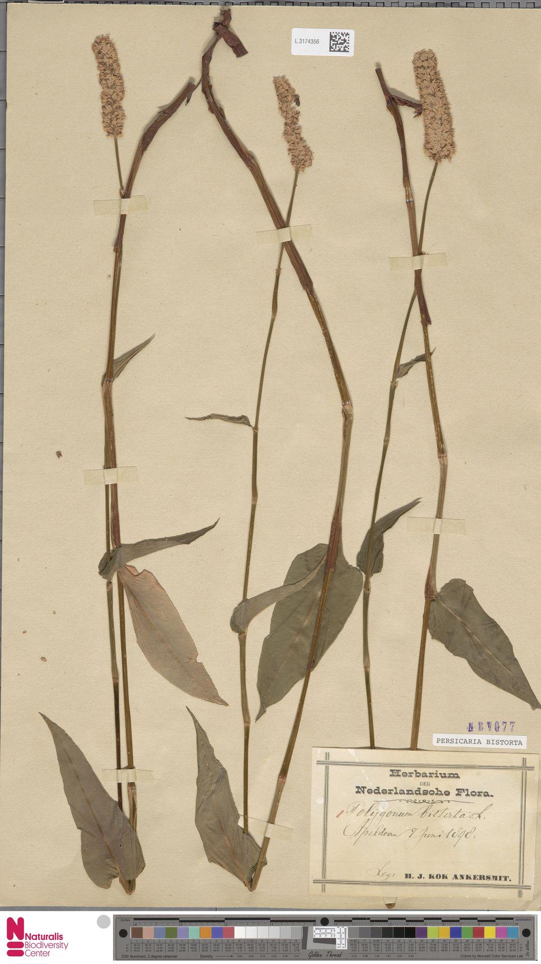 L.3174356   Persicaria bistorta (L.) Samp.