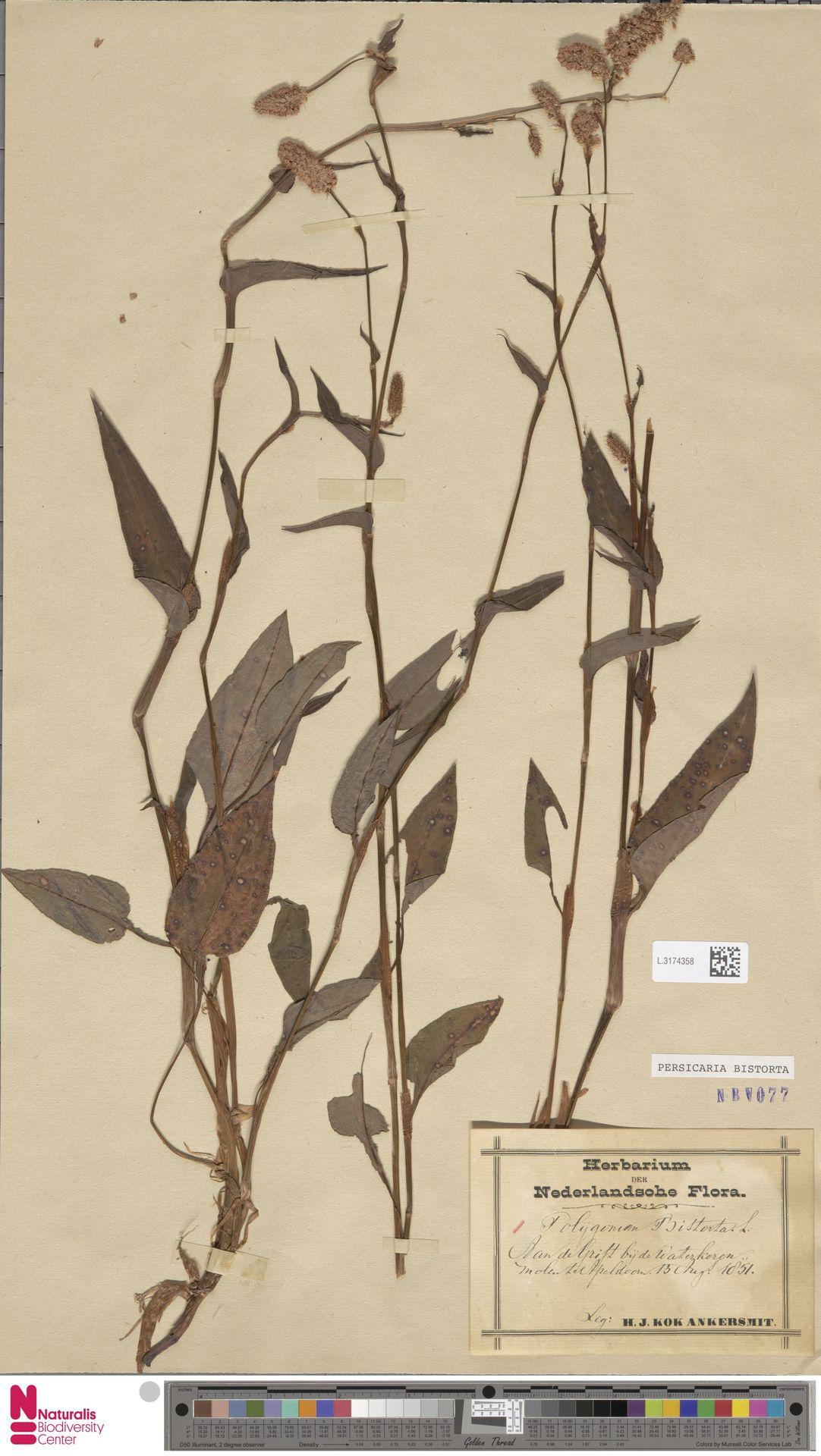 L.3174358 | Persicaria bistorta (L.) Samp.