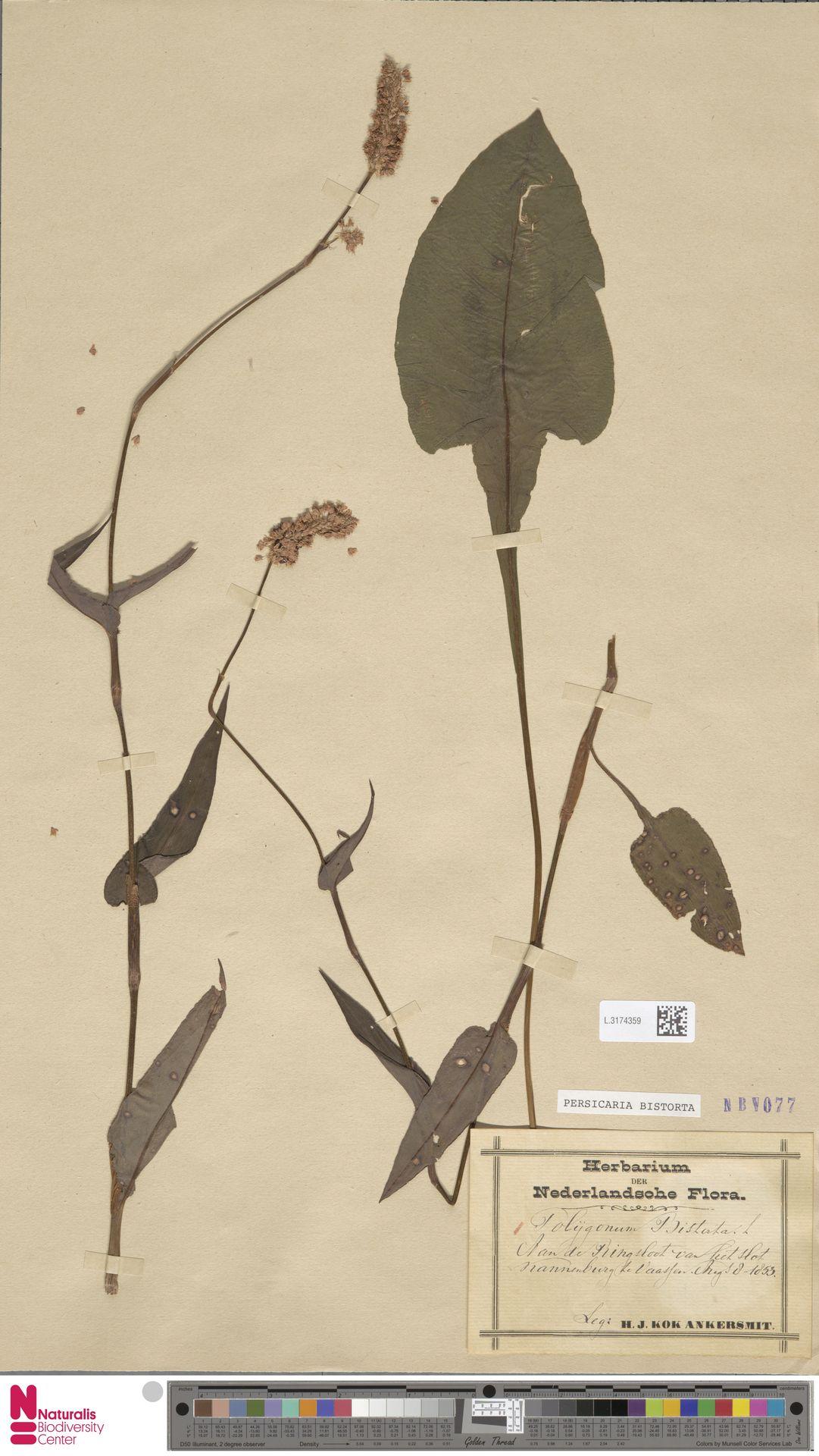 L.3174359 | Persicaria bistorta (L.) Samp.