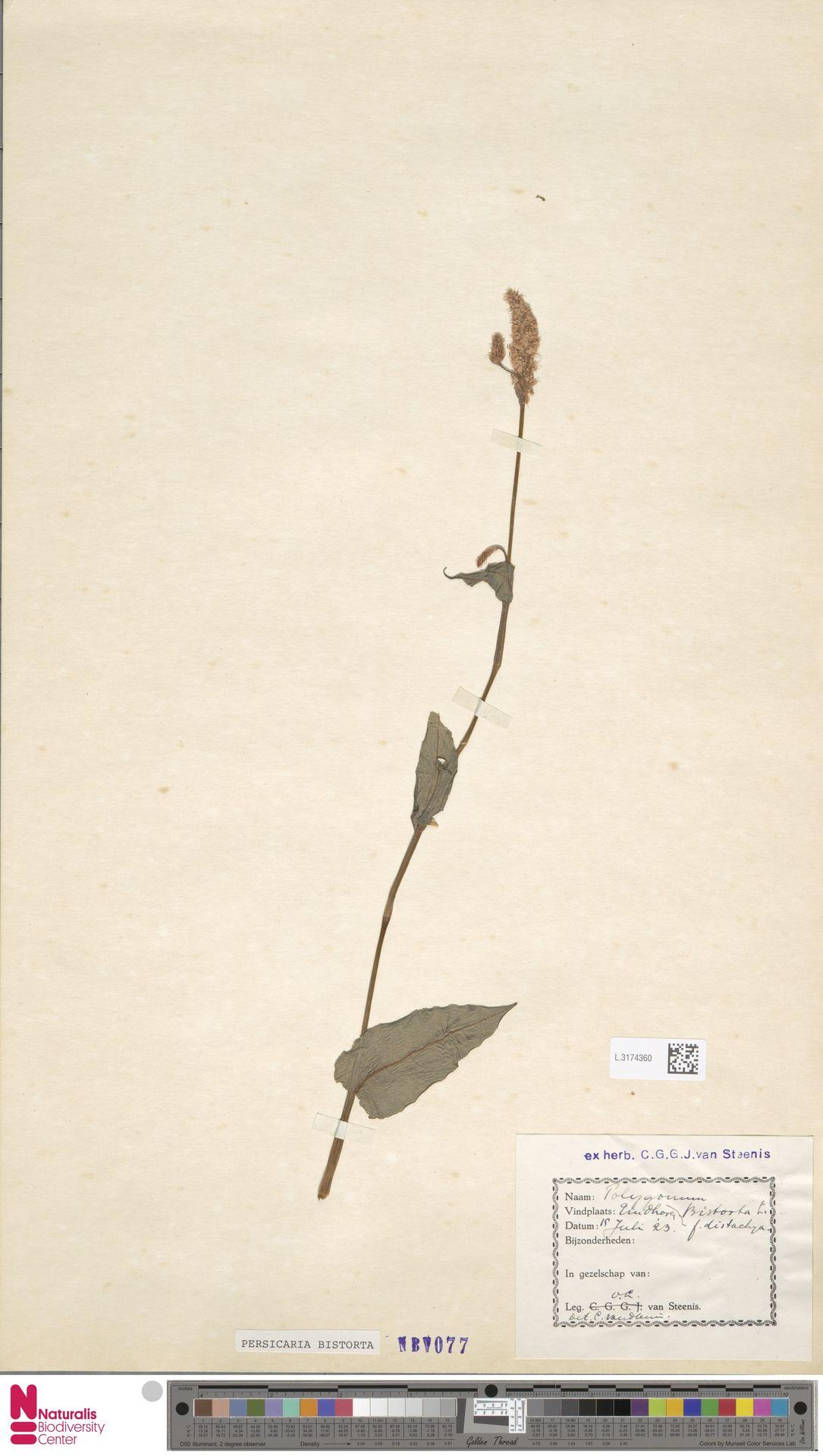 L.3174360 | Persicaria bistorta (L.) Samp.