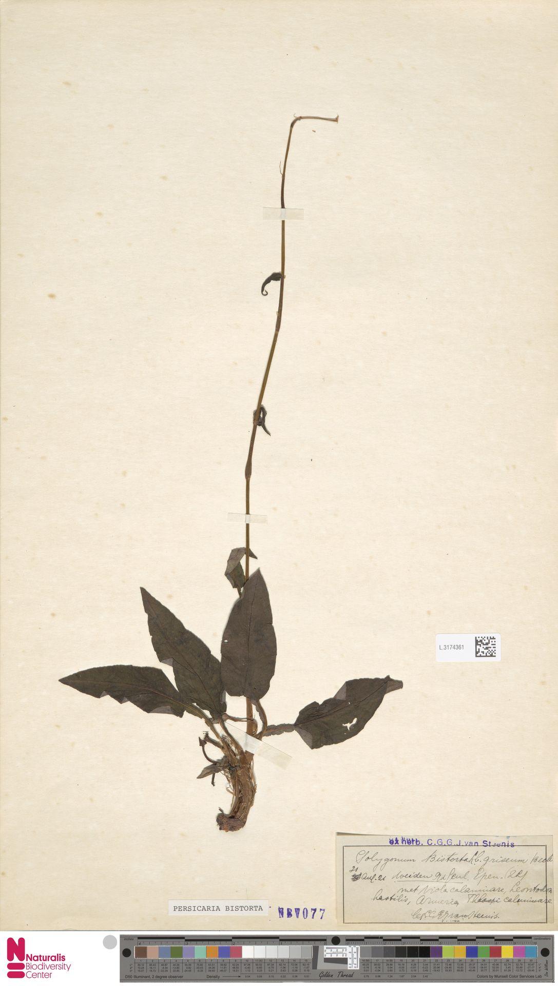 L.3174361 | Persicaria bistorta (L.) Samp.