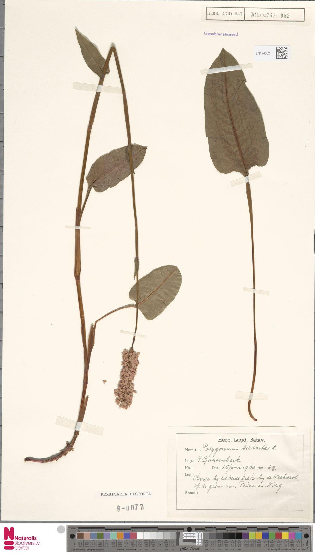 L.3174362 | Persicaria bistorta (L.) Samp.