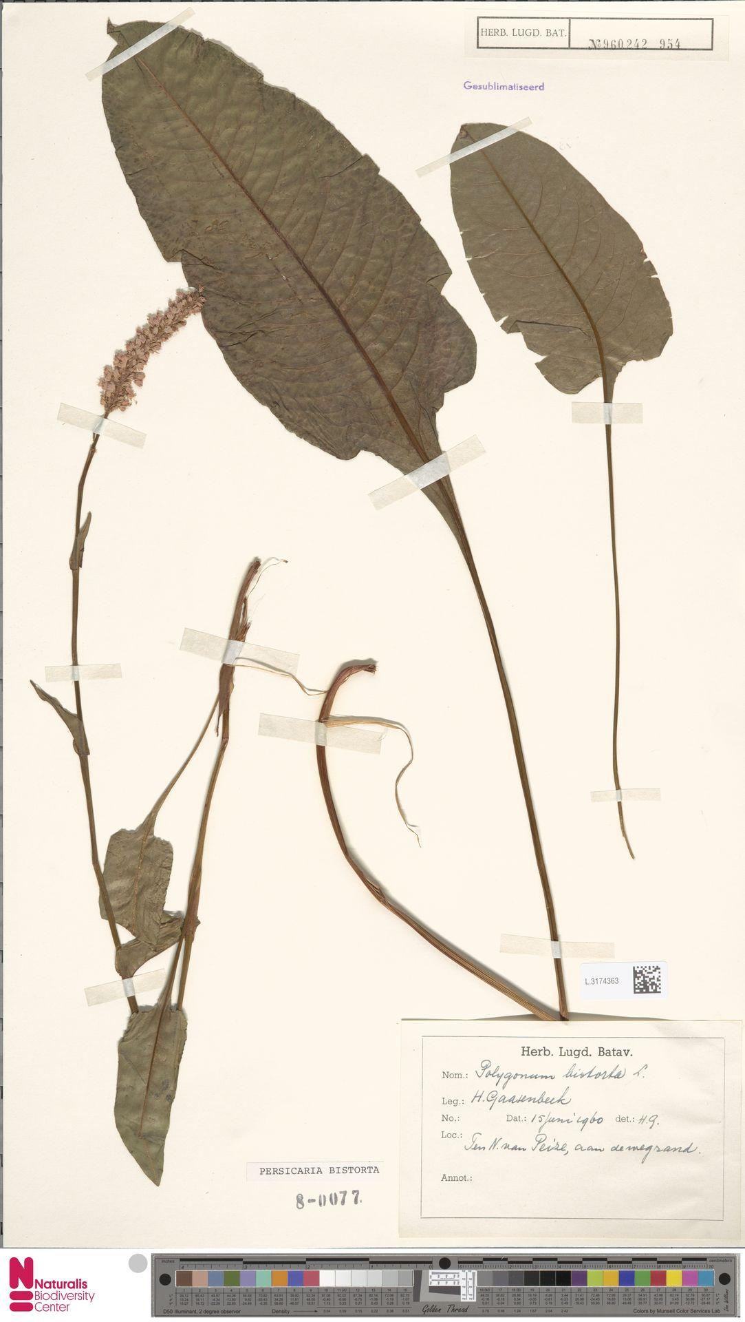 L.3174363 | Persicaria bistorta (L.) Samp.