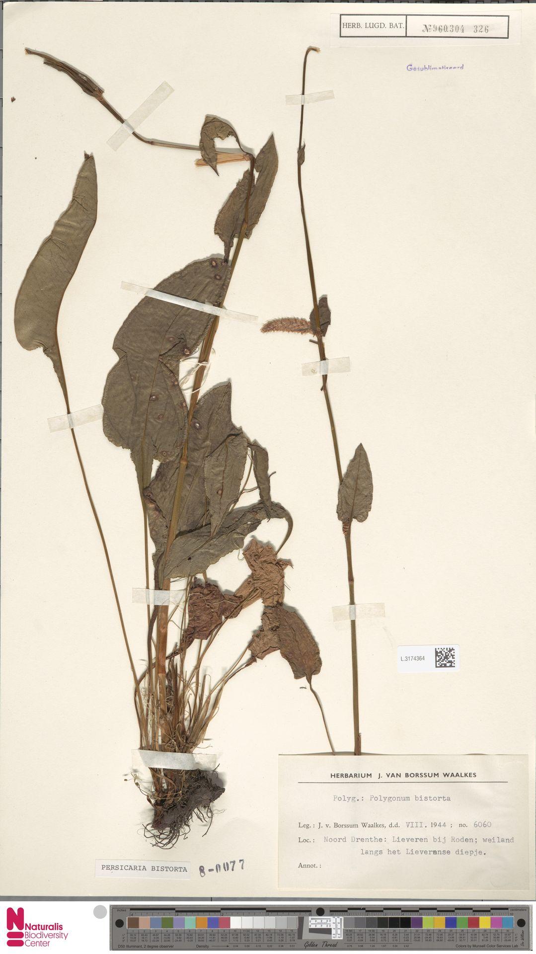 L.3174364 | Persicaria bistorta (L.) Samp.